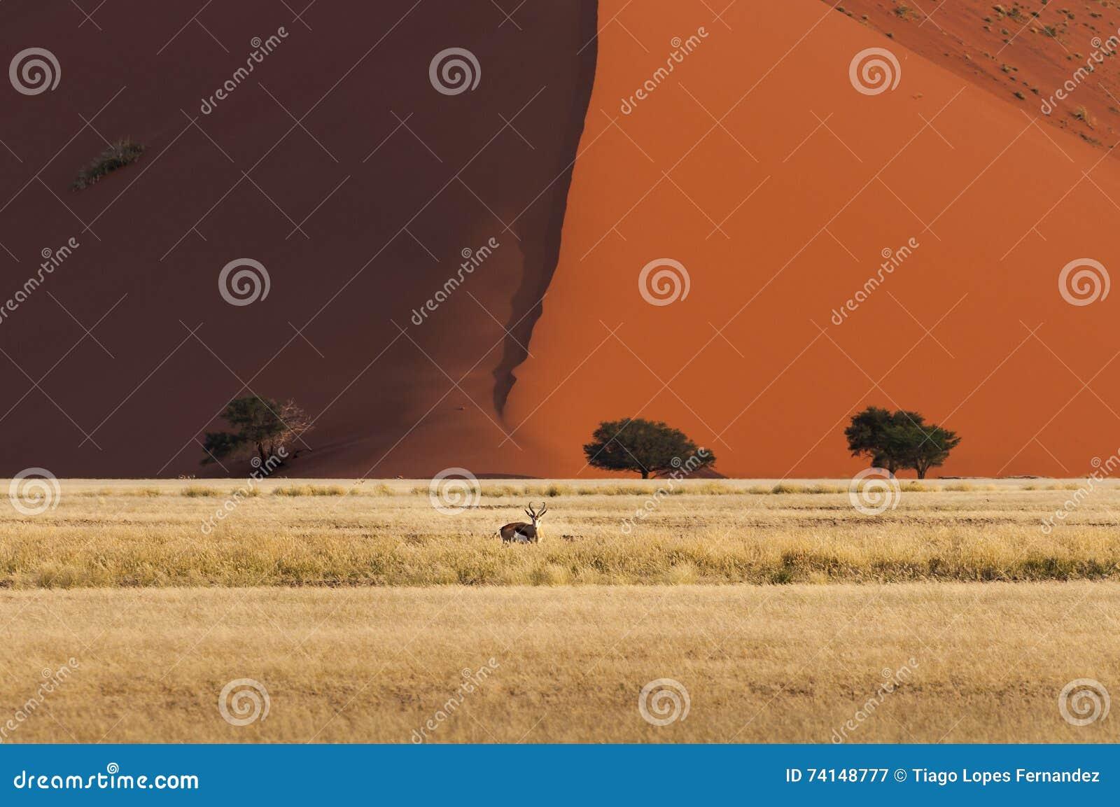 Gacela que se coloca delante de una duna roja en Sossusvlei, Namibia