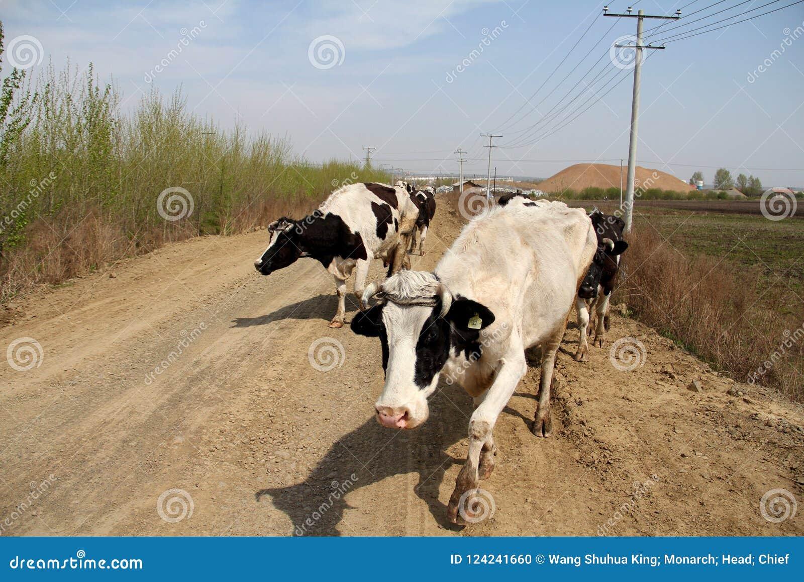 Gado; boi; um sobrenome; moggy; MOO-vaca