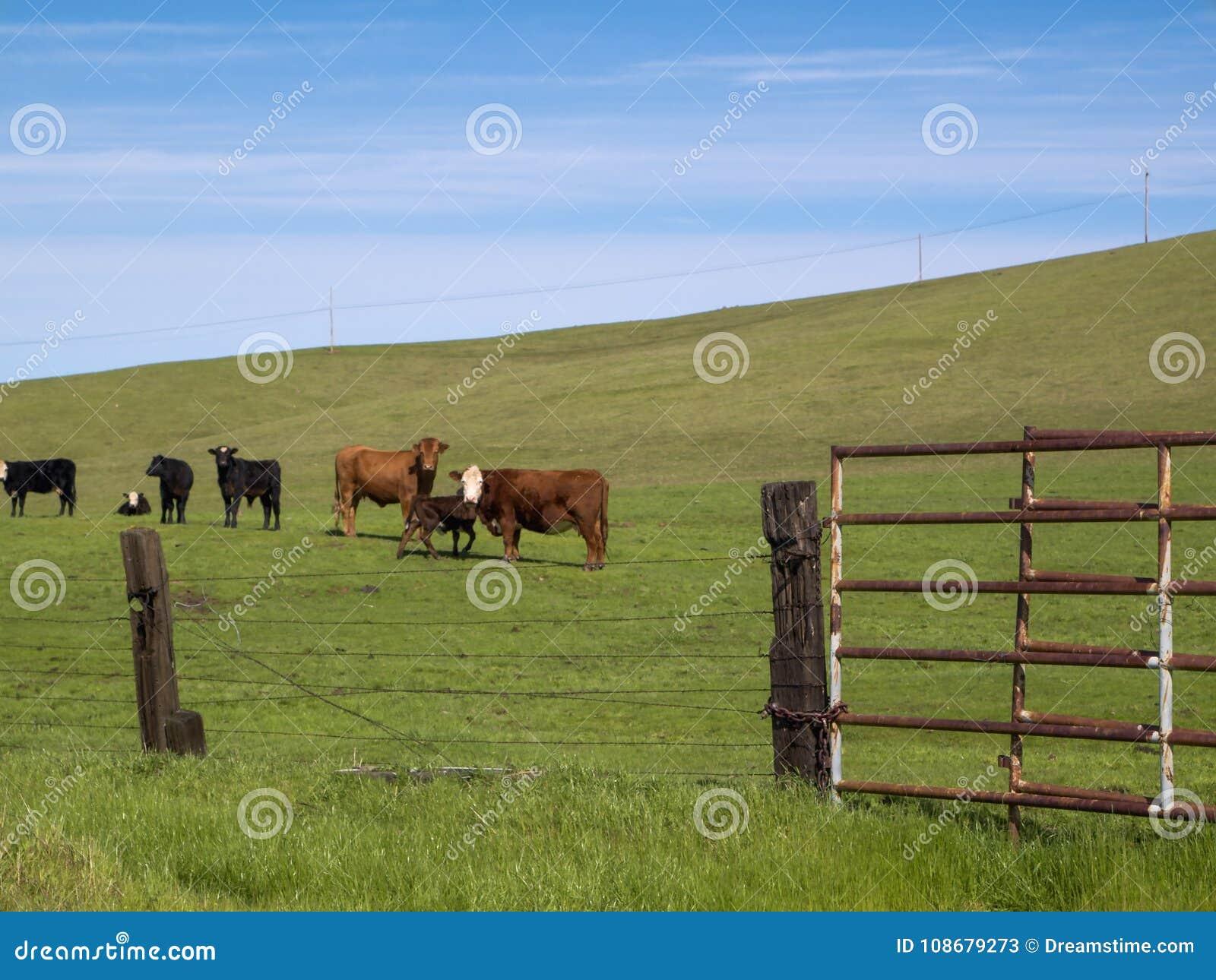 Gado de Califórnia no rancho de Folsom