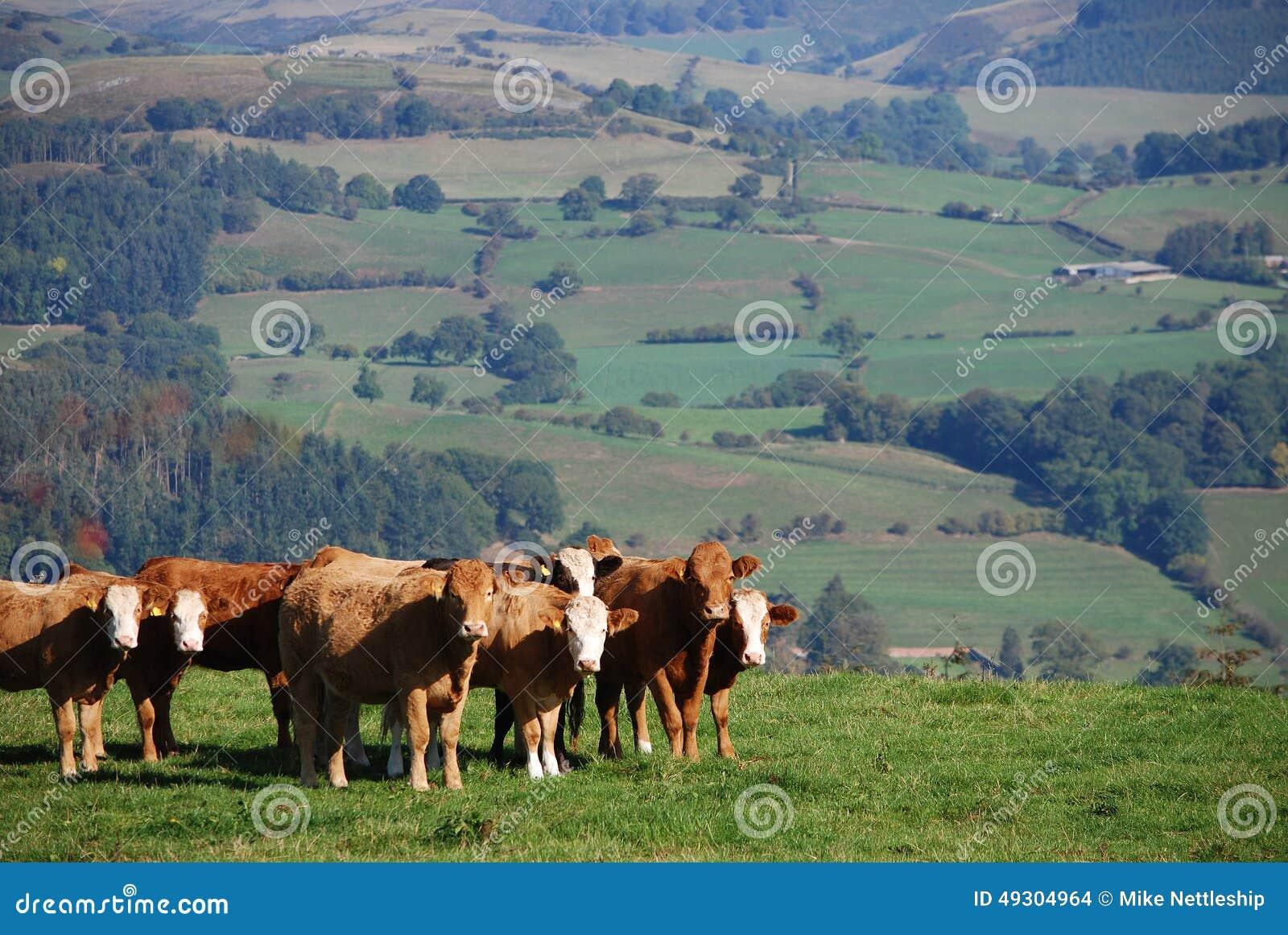 Gado em uma exploração agrícola de Galês