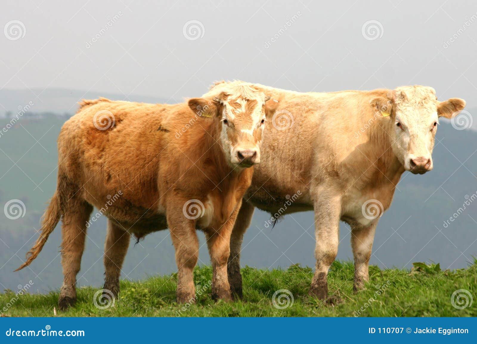 Gados bovinos