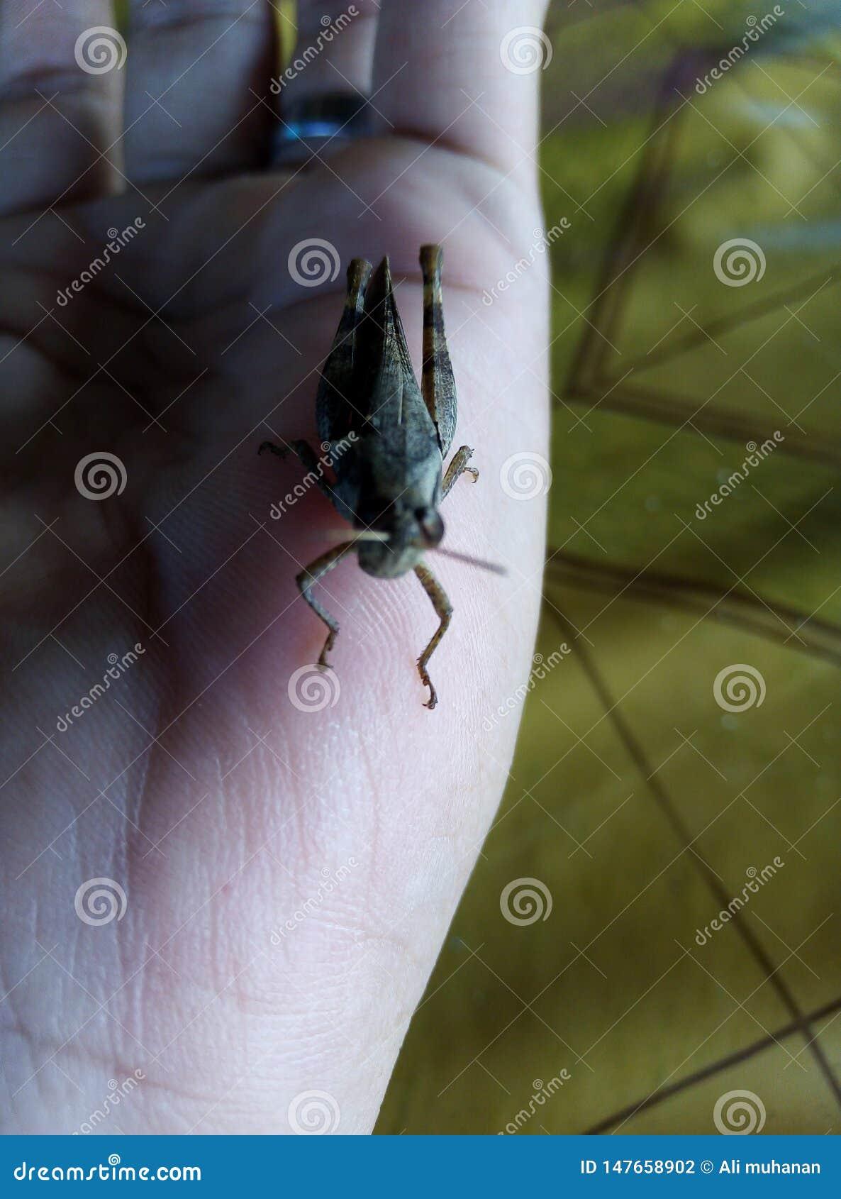 Gafanhoto em minha mão