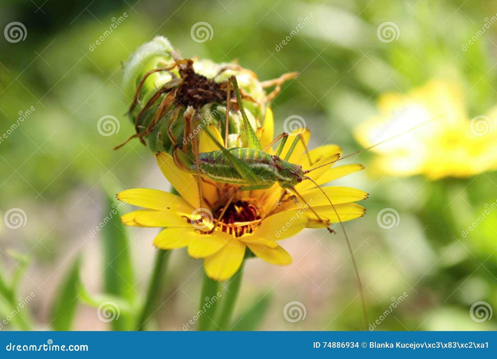 Gafanhoto verde na flor do yeow