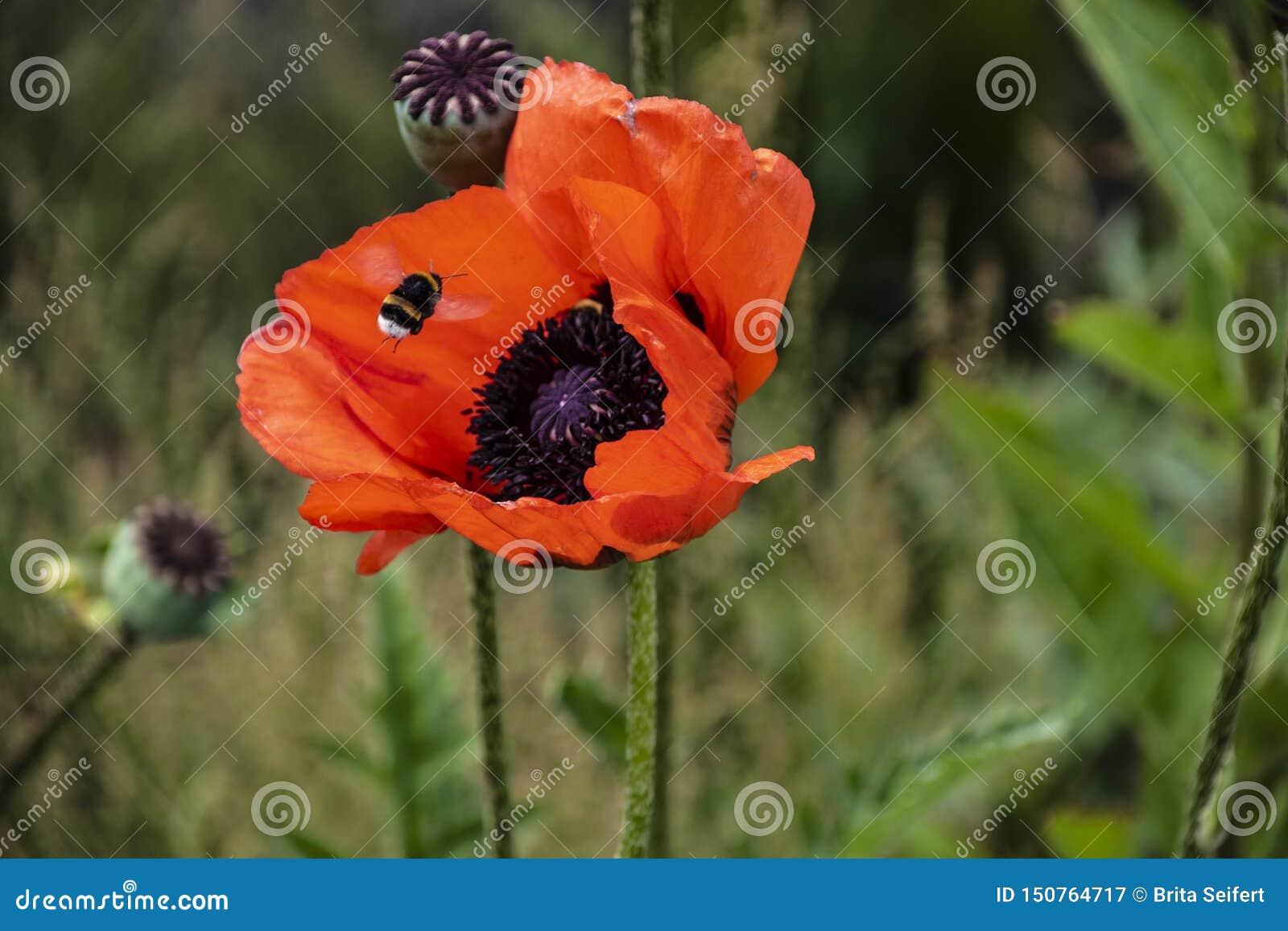 Gaffez étroitement l abeille sur le fond rouge de pollen de pavot, insecte en été Gaffez l abeille sur la fleur rouge lumineuse