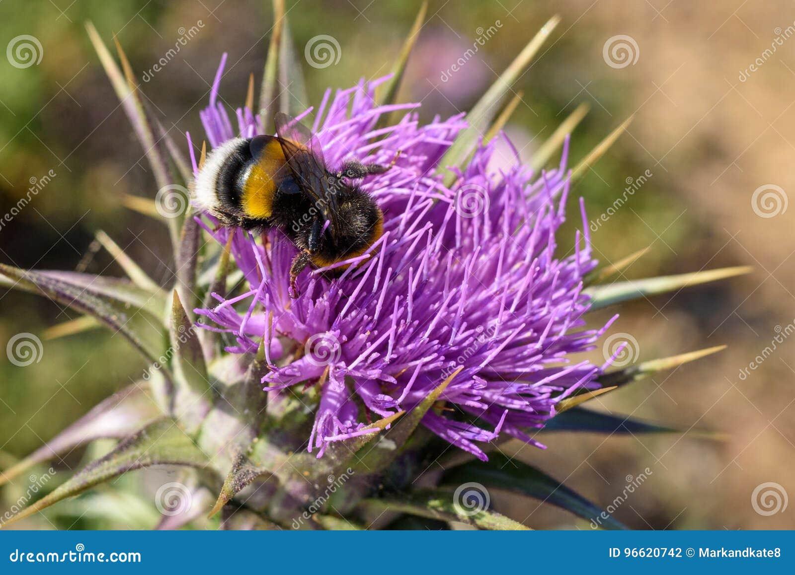 Gaffez l abeille sur la fleur pourpre