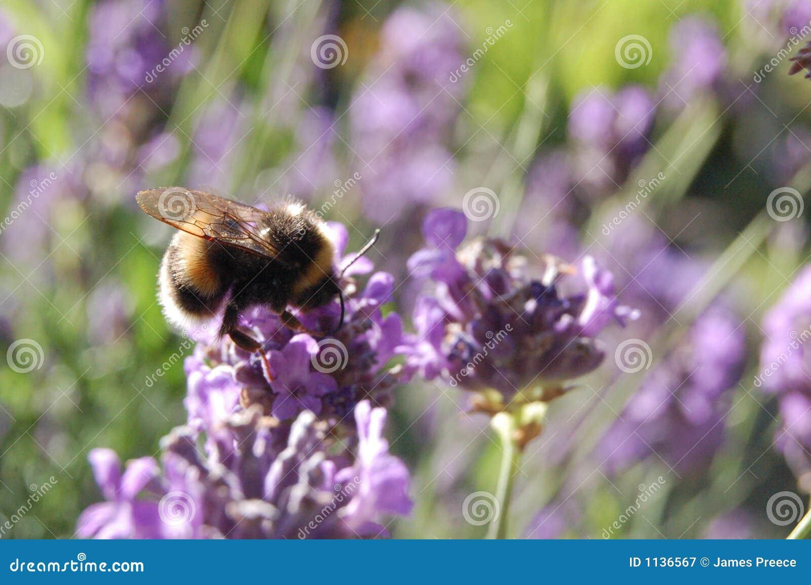 Gaffez l abeille sur la lavande