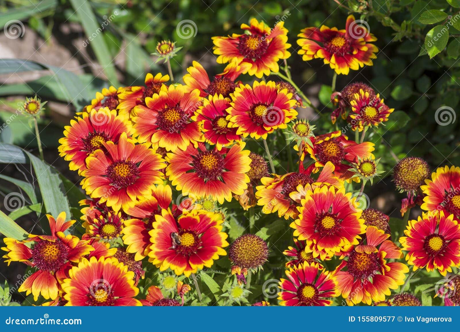 Gaillardia Aristata Flor De Color Amarillo Rojo En Flor Planta Común Florida De Flores De Color Blanco Grupo De Flores Imagen De Archivo Imagen De Florecimiento Manta 155809577