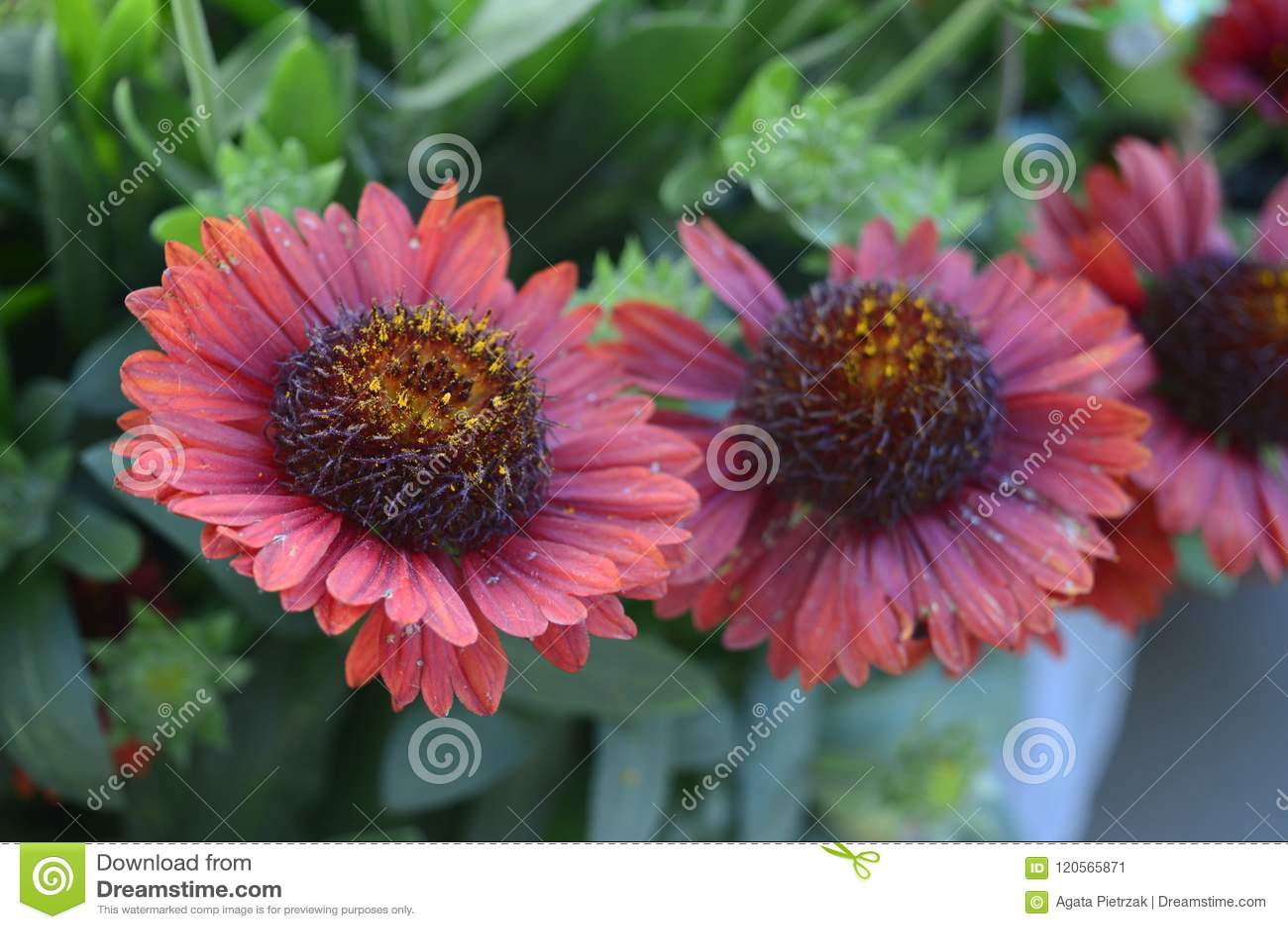 Ommon Blanketflower Or Common Gaillardia Stock Image Image Of