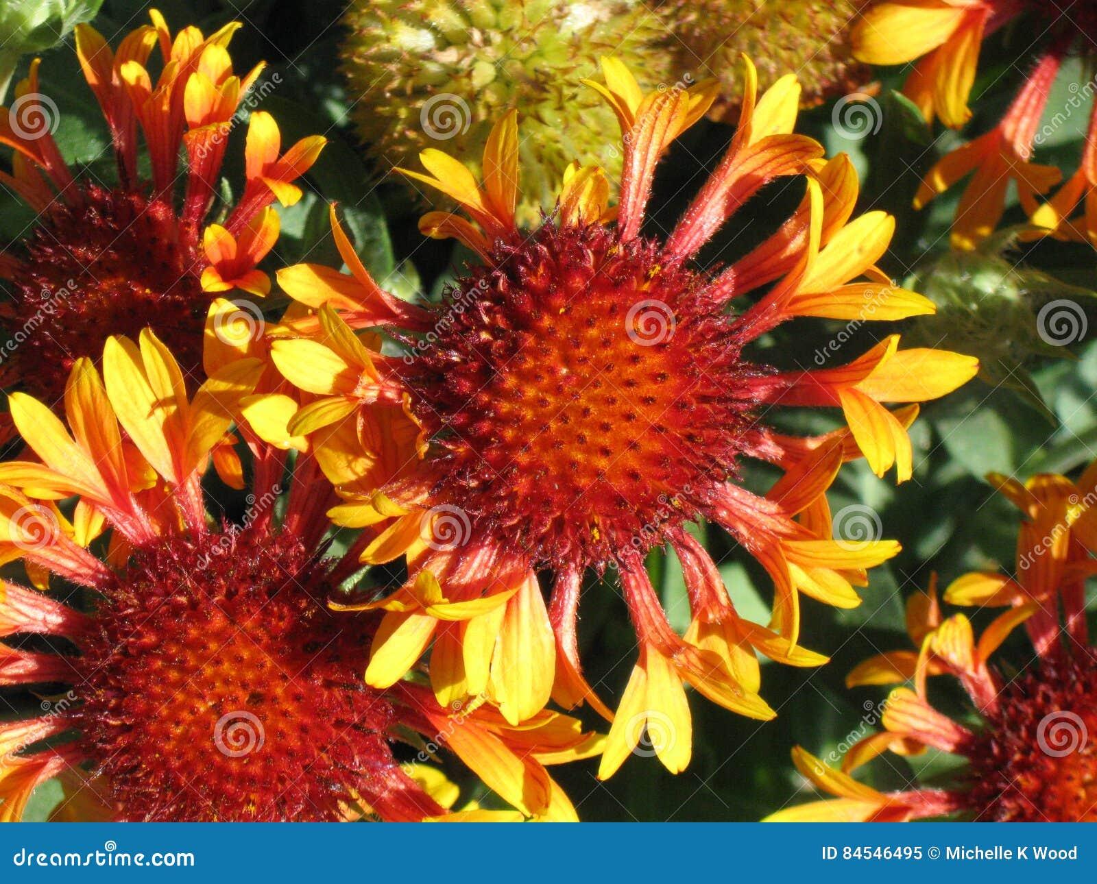 Gaillardia Grandiflora Blanket Flower Stock Image Image Of Petals