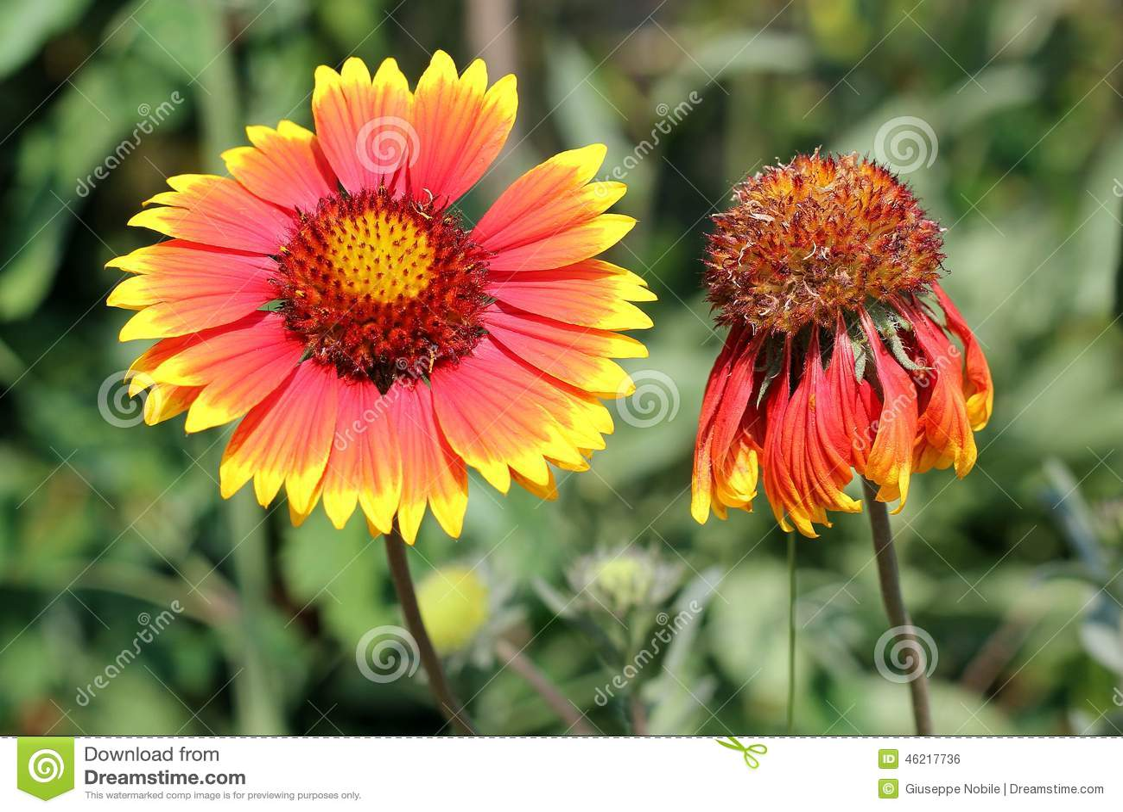 Gaillardia Stock Photo Image Of Floral Floriculture 46217736