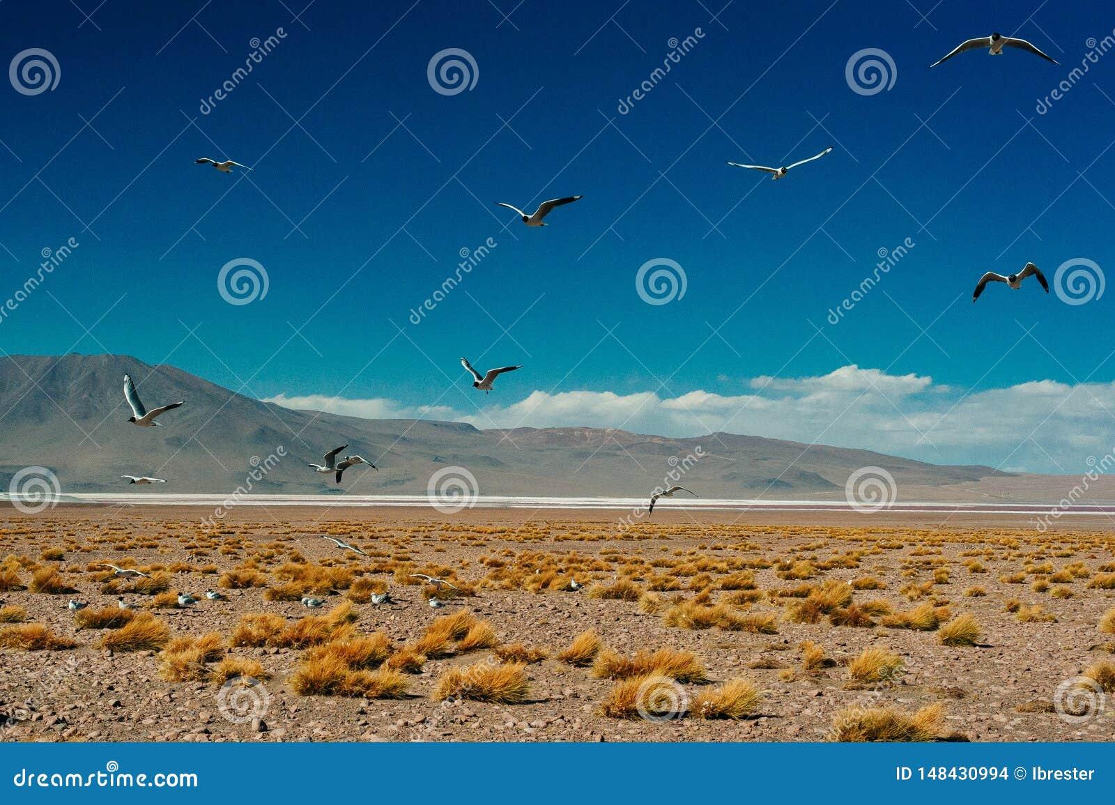 A gaivota andina é uma espécie de gaivota no Laridae da família