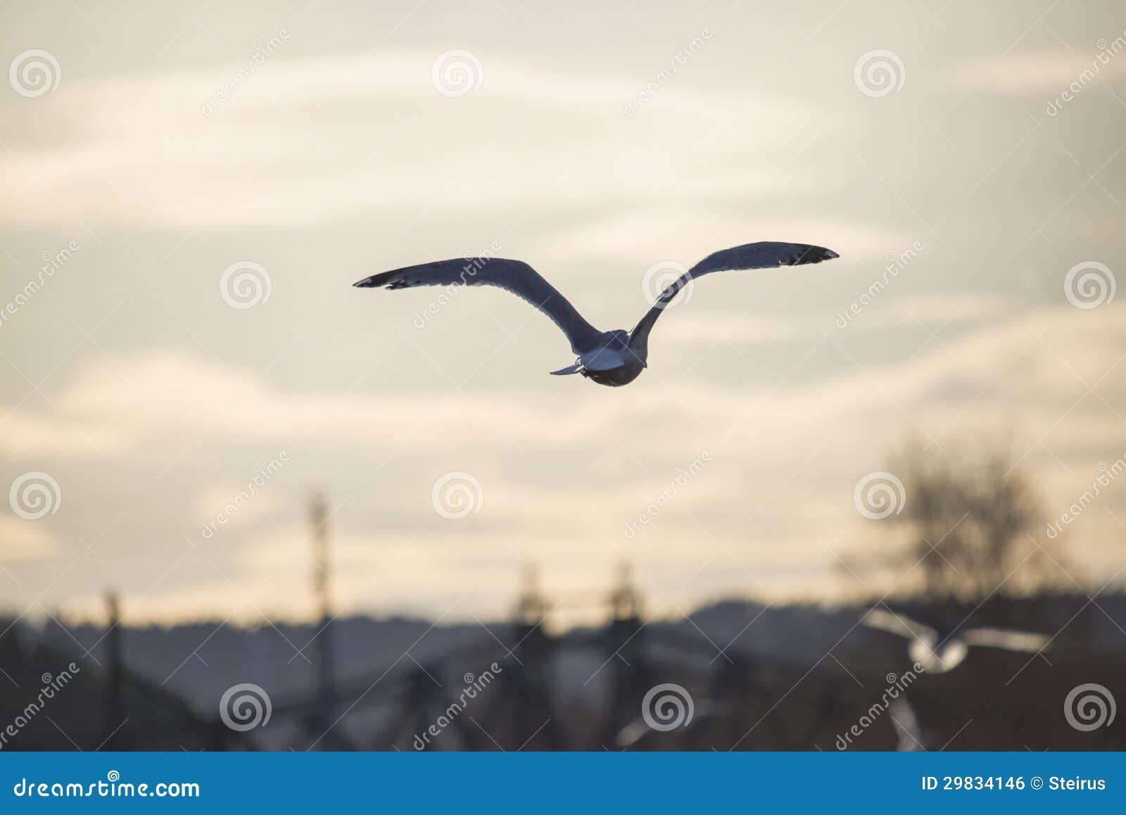 Vôo europeu da gaivota de arenques no por do sol