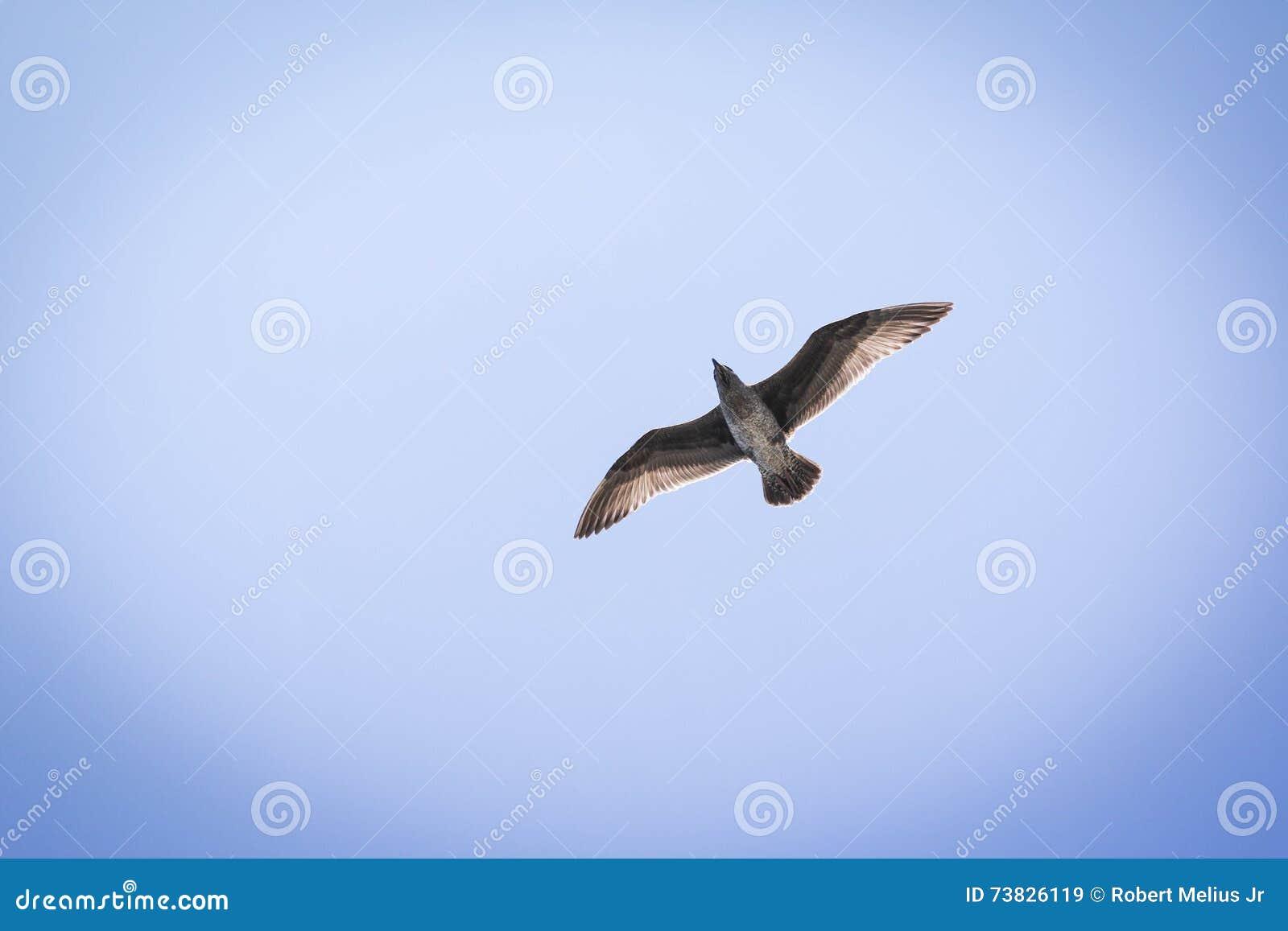 Gaivota em voo contra um céu azul com luz solar através das penas