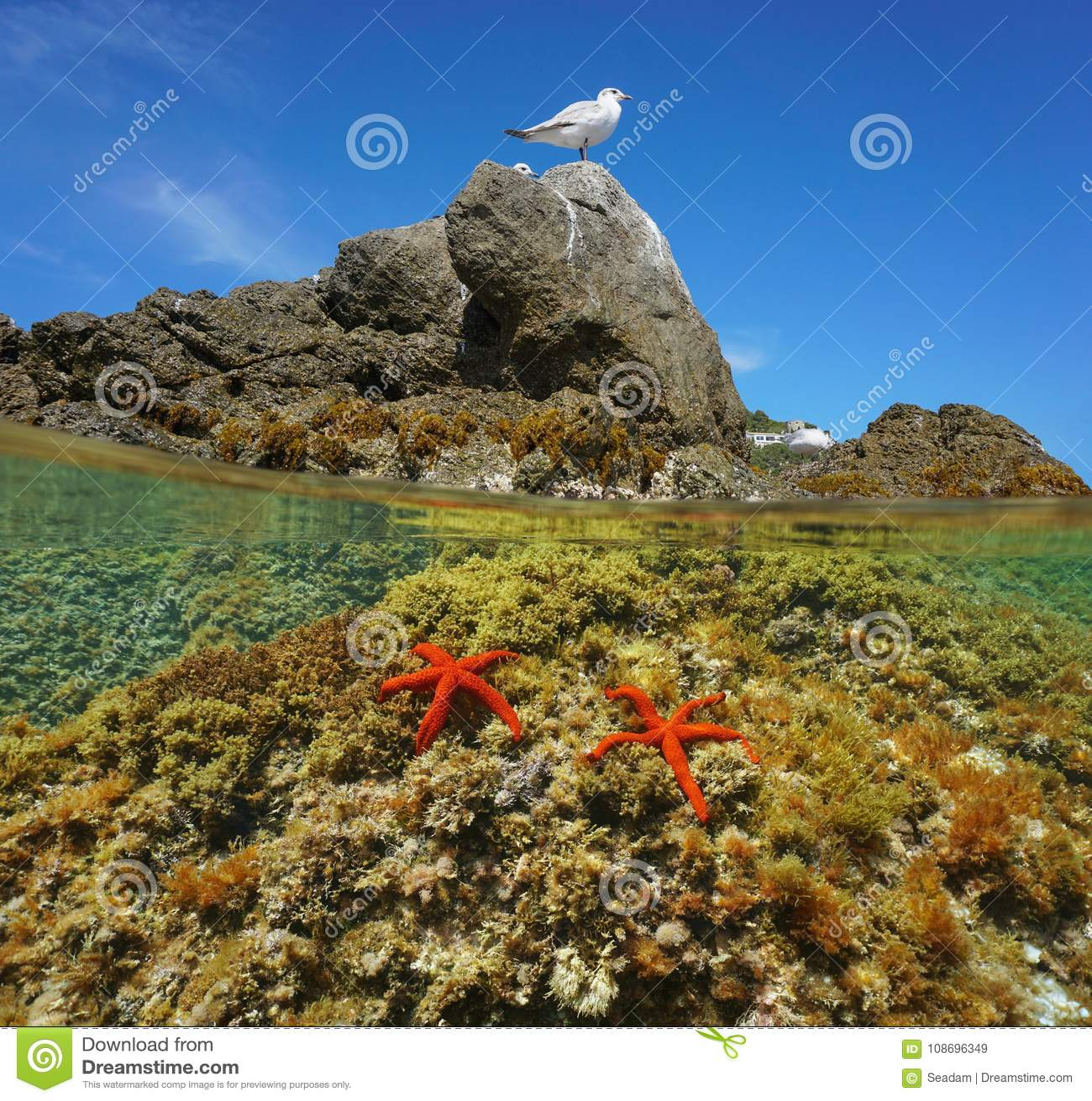 Gaivota mediterrânea com as estrelas de Mar Vermelho subaquáticas