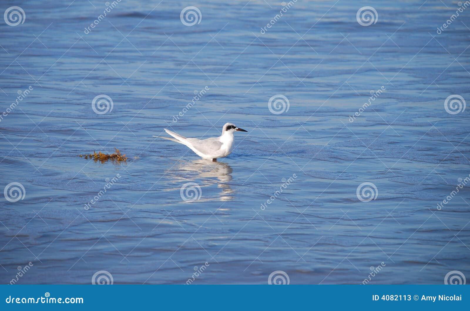 Gaivota no mar azul