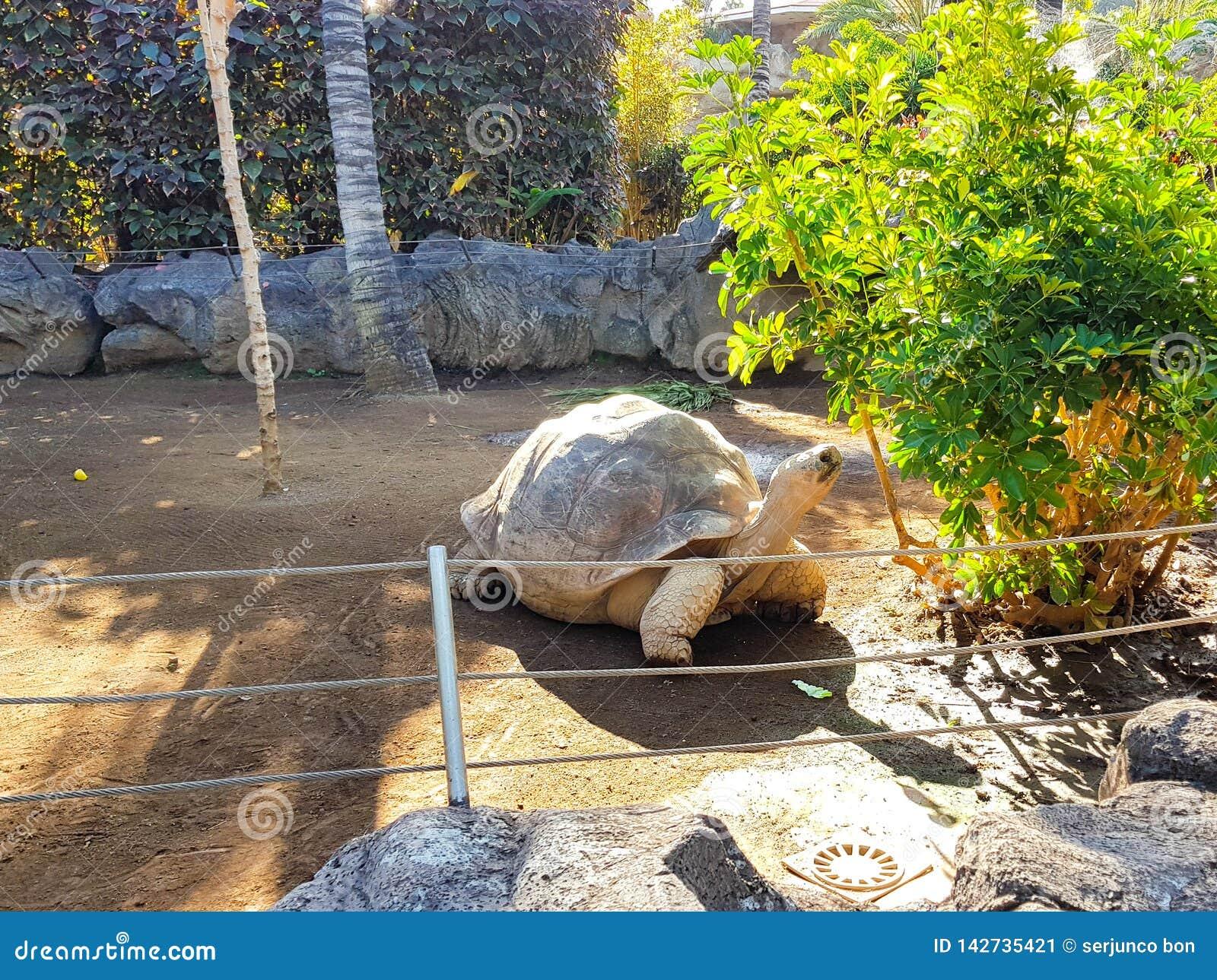 Galápagos gigantes no jardim zoológico