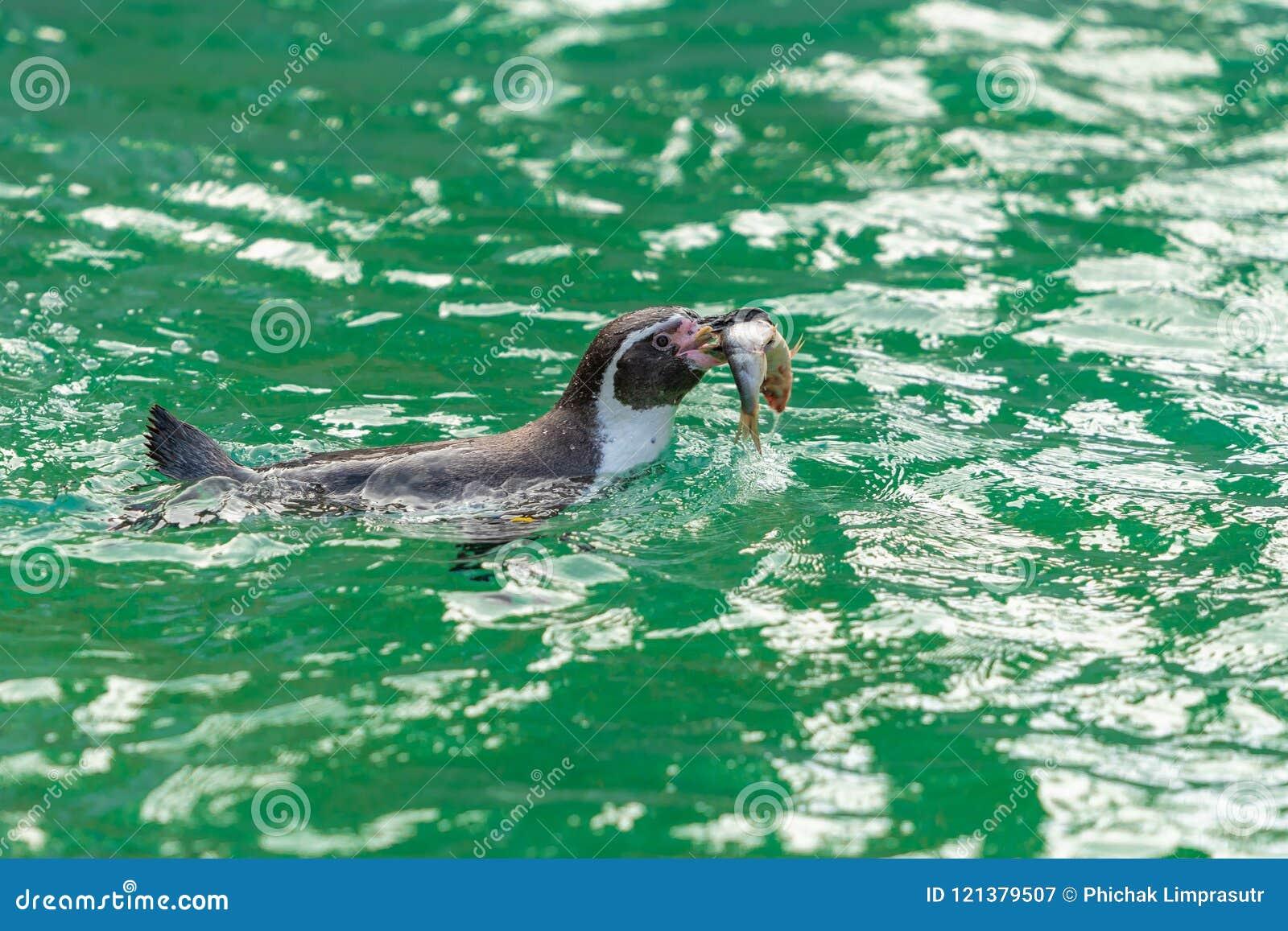 Galà ¡ pagos pingwiny karmią na ryba jako ich podstawowa dieta