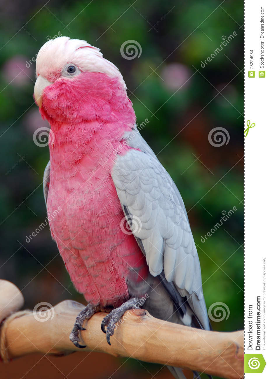 galah rose breasted cockatoo parrot bird stock images