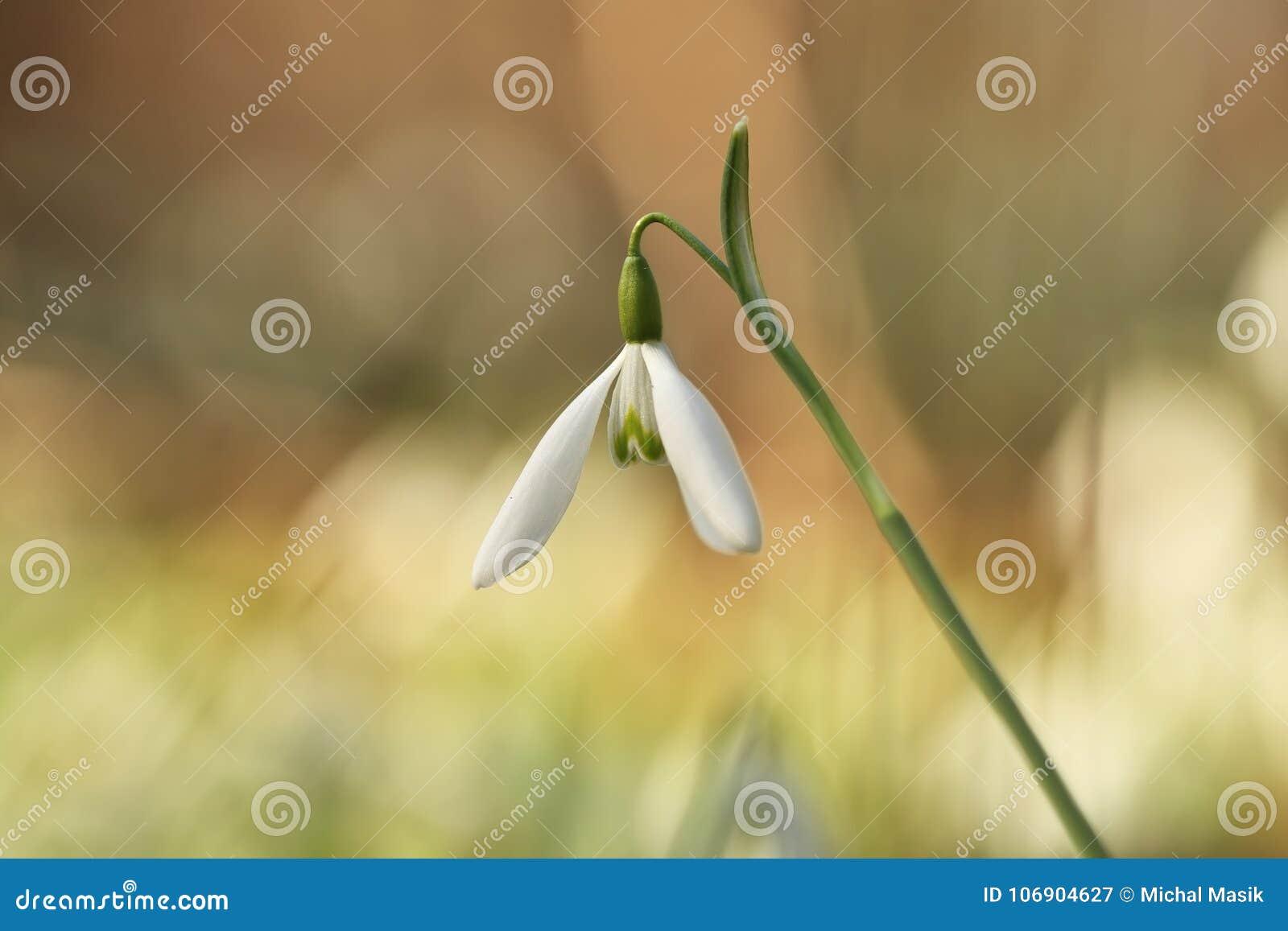 Galanthus nivalis Ja rozprzestrzenia przez Europa, Południowo-zachodni Azja i afrykę pólnocną,