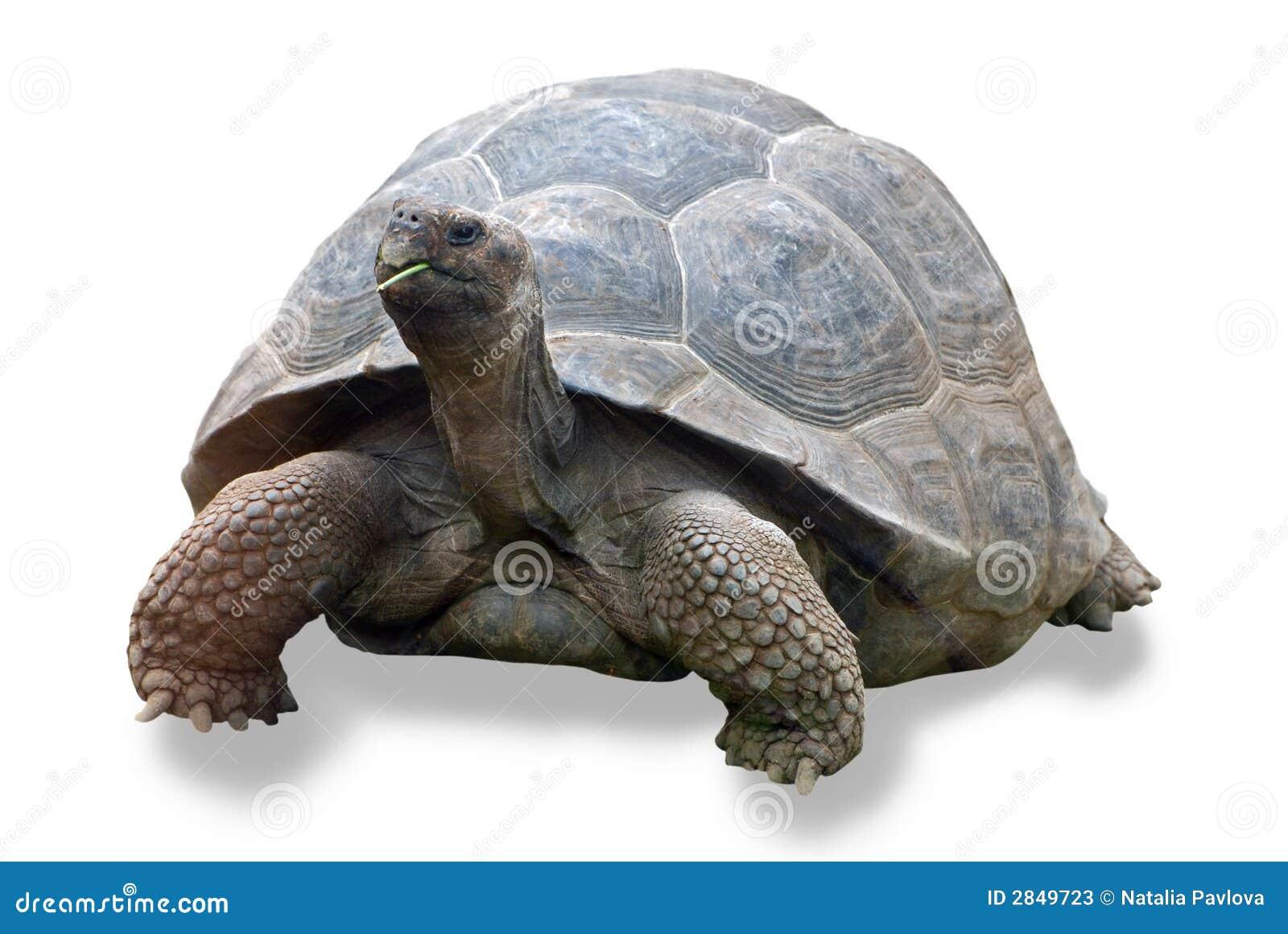 Galapagos żółwia