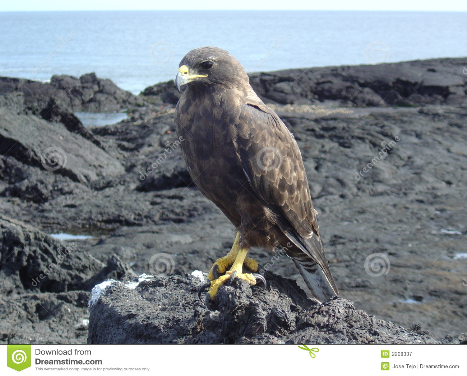 Galapagos γεράκι