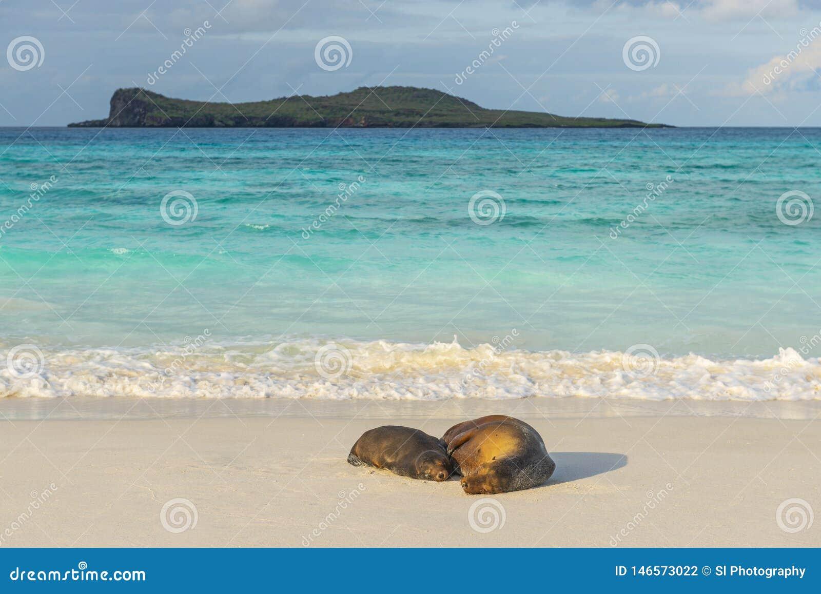 Galapagos Denni lwy przy zmierzchem, Ekwador