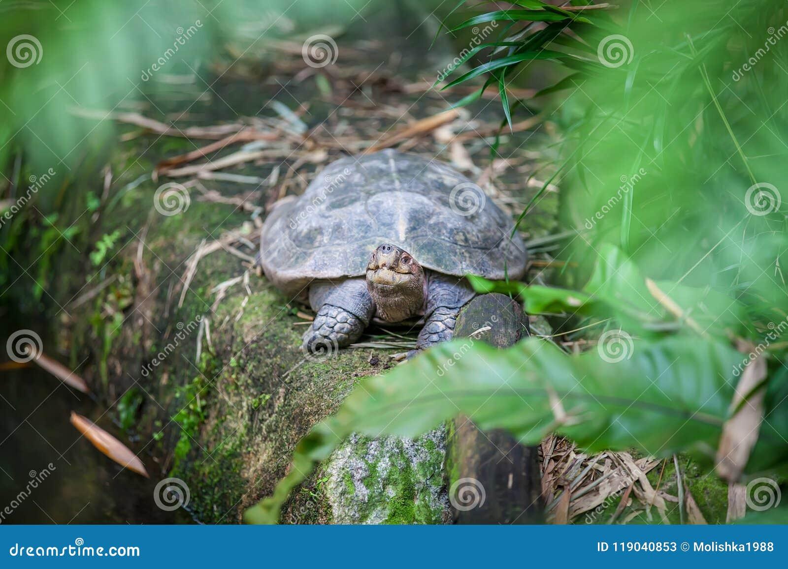 Galapagos giganta ziemi żółw w Singapur zoo