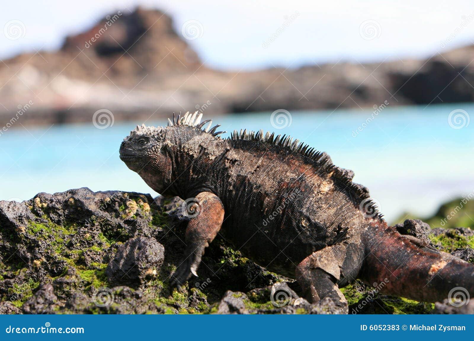 Galapagos leguanflotta