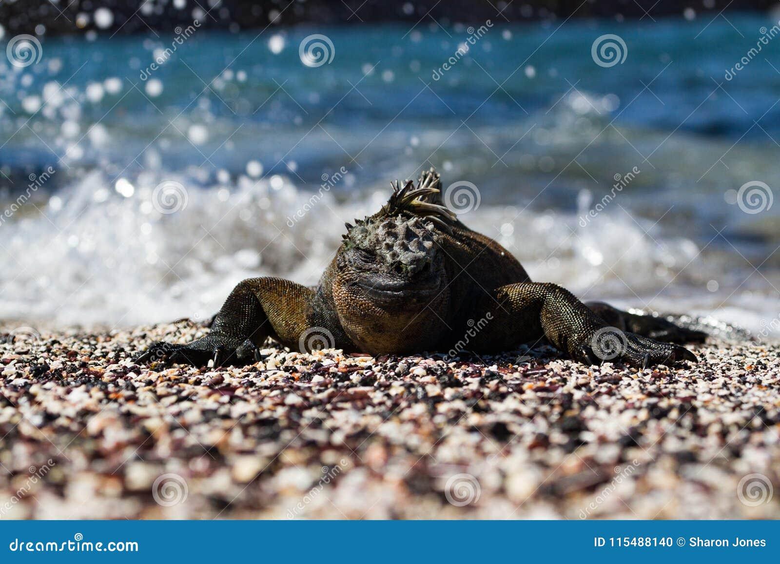 Galapagos Marine Iguana Amblyrhynchus cristatus on sunning itself on a beach, Galapagos Islands