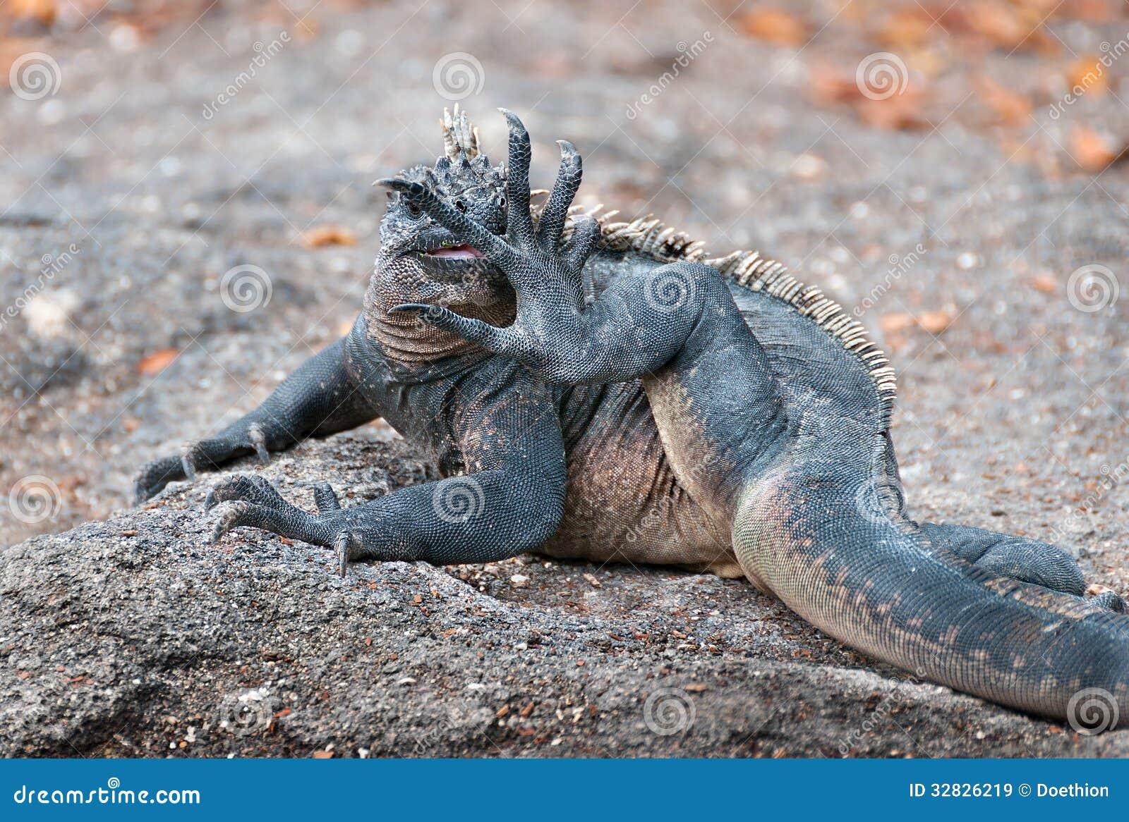 Galapagos Marine Iguana Licking Its Foot Royalty Free
