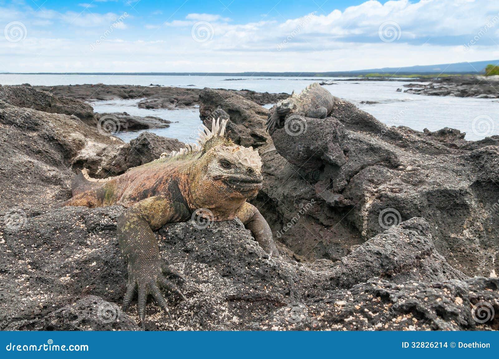 Galapagos marine iguana on a rocky outcrop