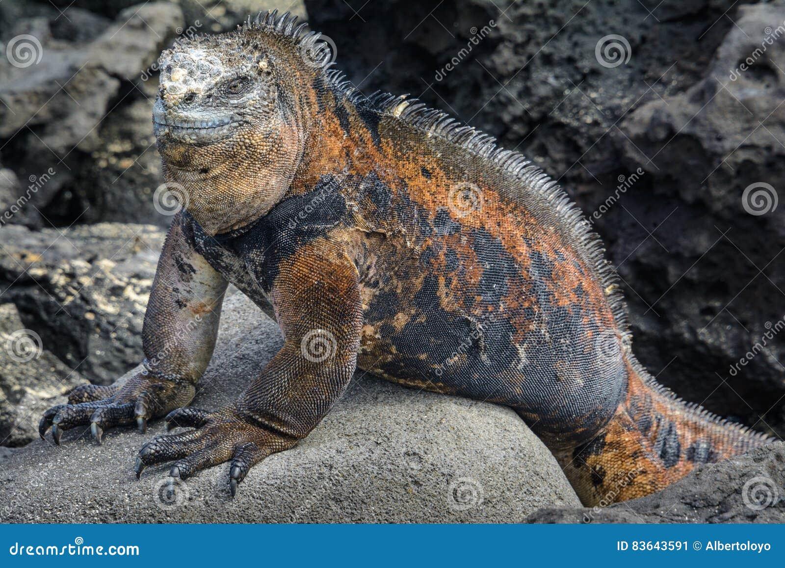 Galapagos Marine Iguana, San Cristobal Island, Ecuador Stock Image ...