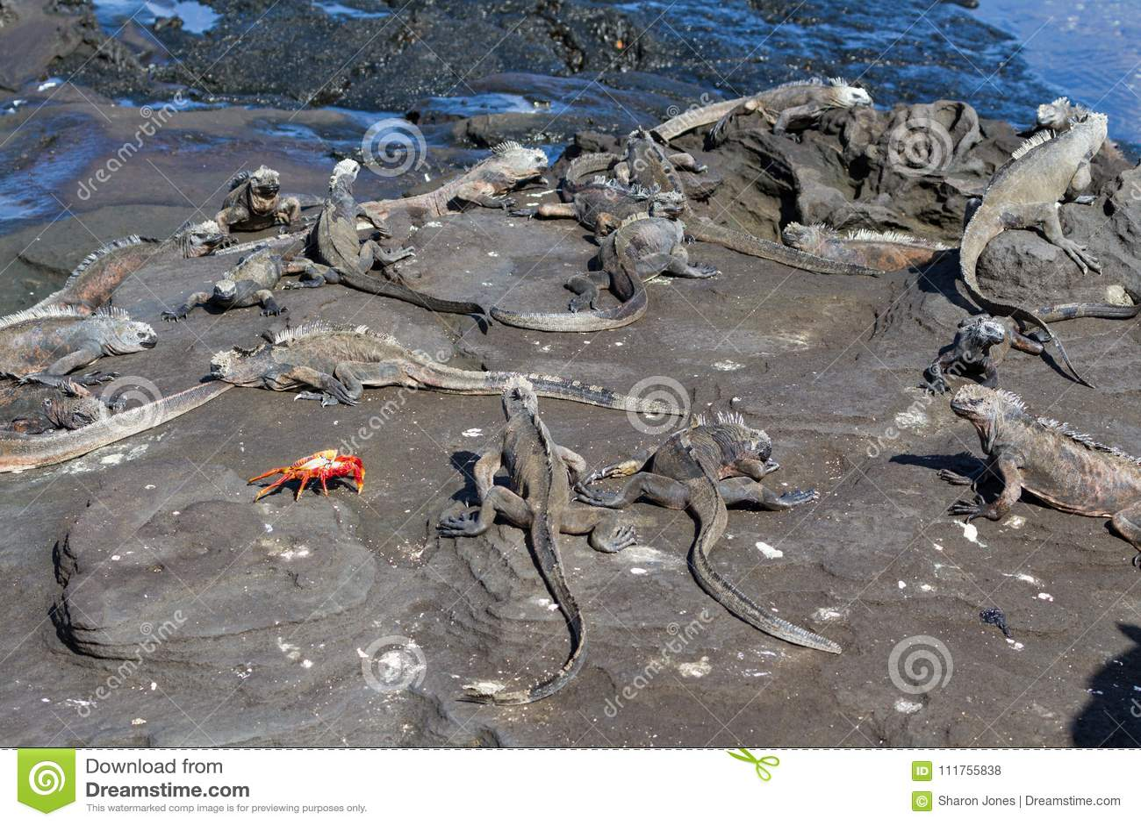 Galapagos Marine Iguanas Amblyrhynchus cristatus with a Sally Lightfoot Crab on lava rock, Galapagos Islands