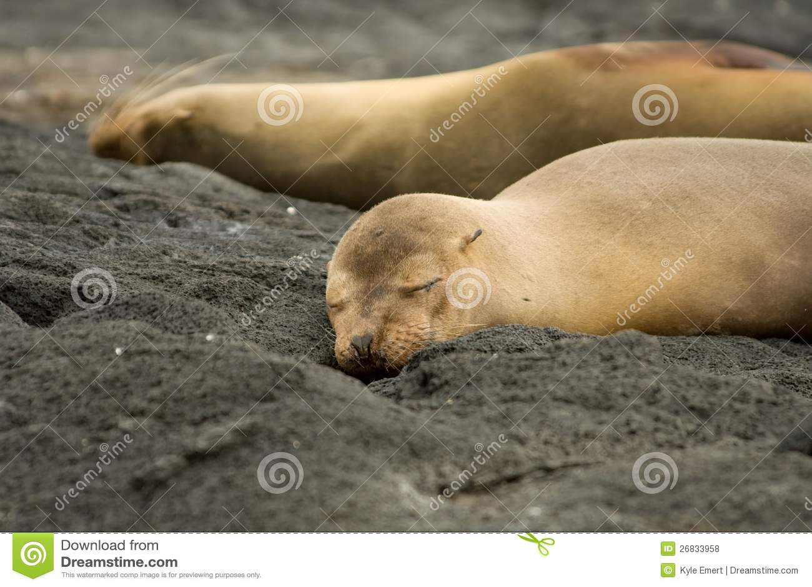 Galapagos morza lwy