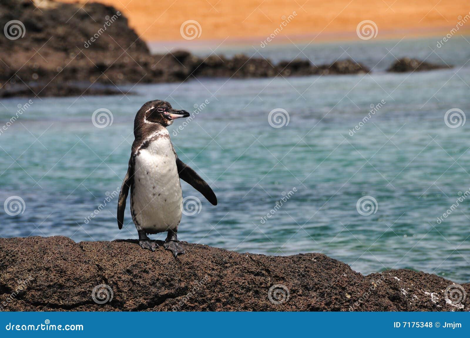 Galapagos pingwin