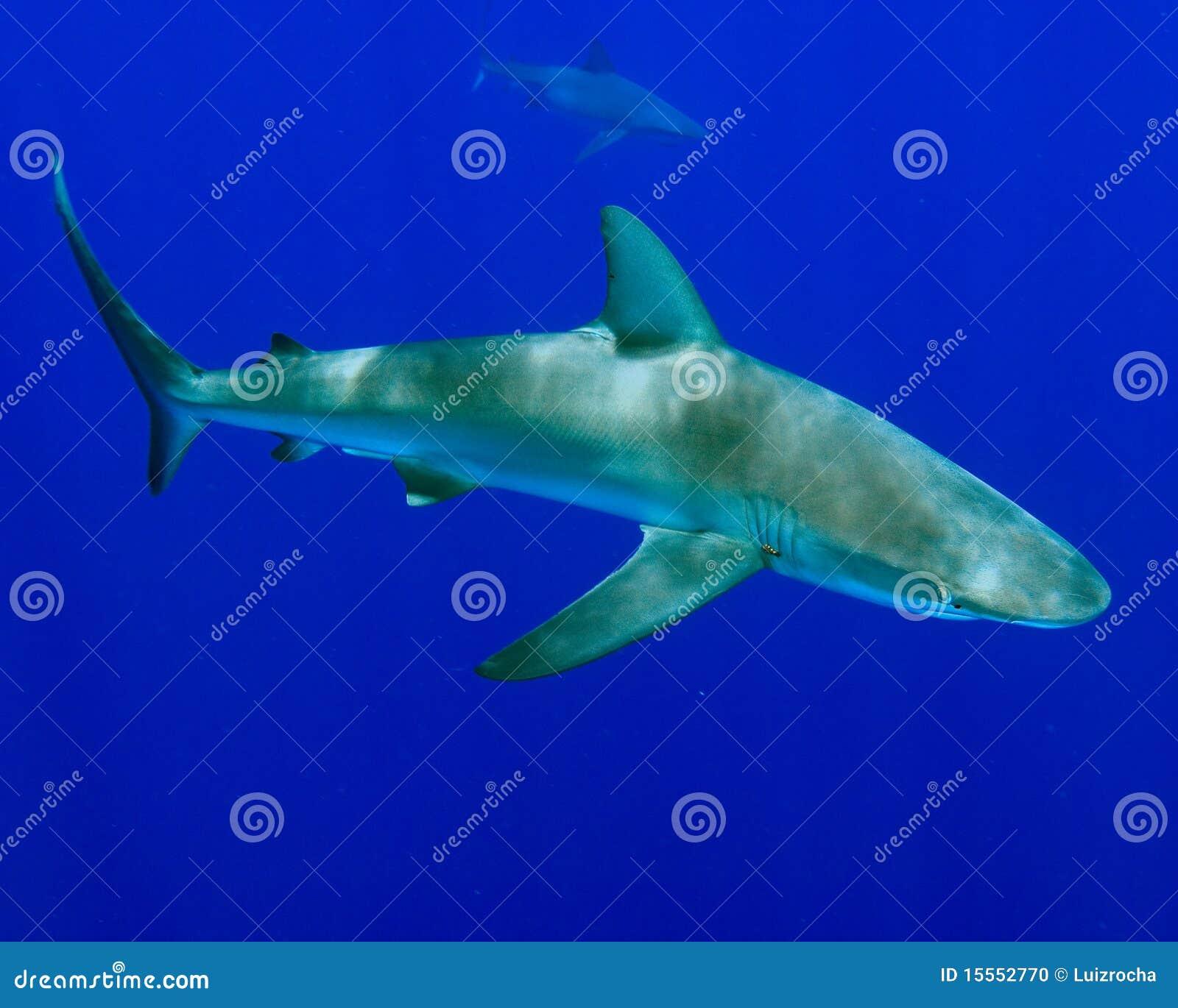 Galapagos rekin