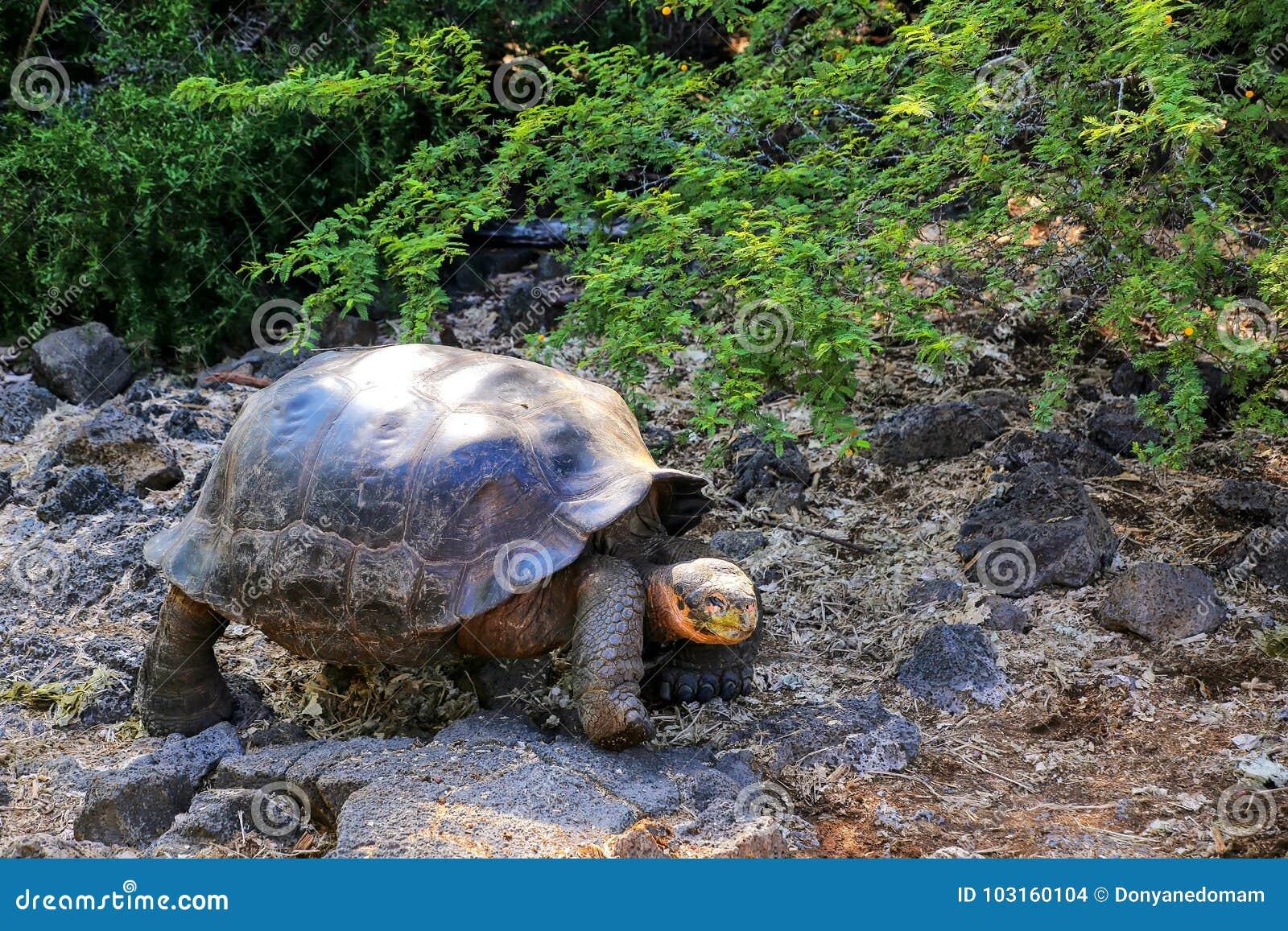 Galapagos-Riesenschildkröte bei Charles Darwin Research Station auf S