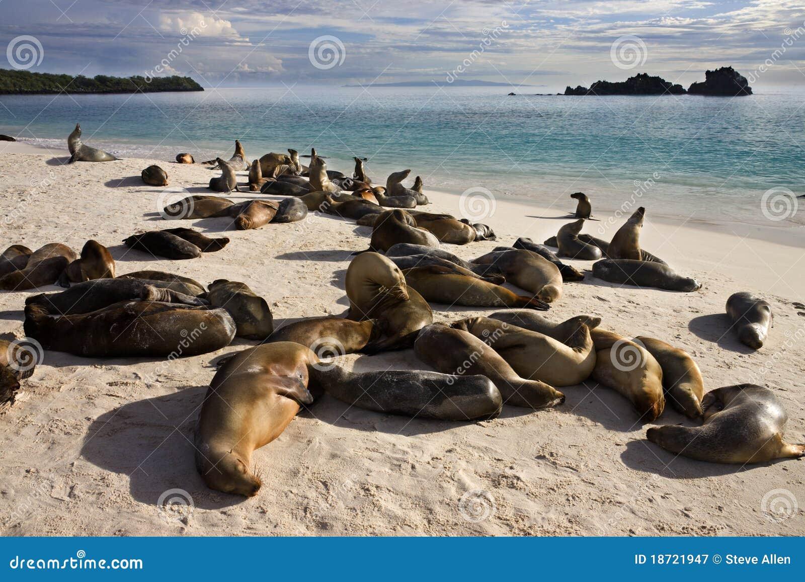 Galapagos Sea Lions - Espanola - Galapagos Islands