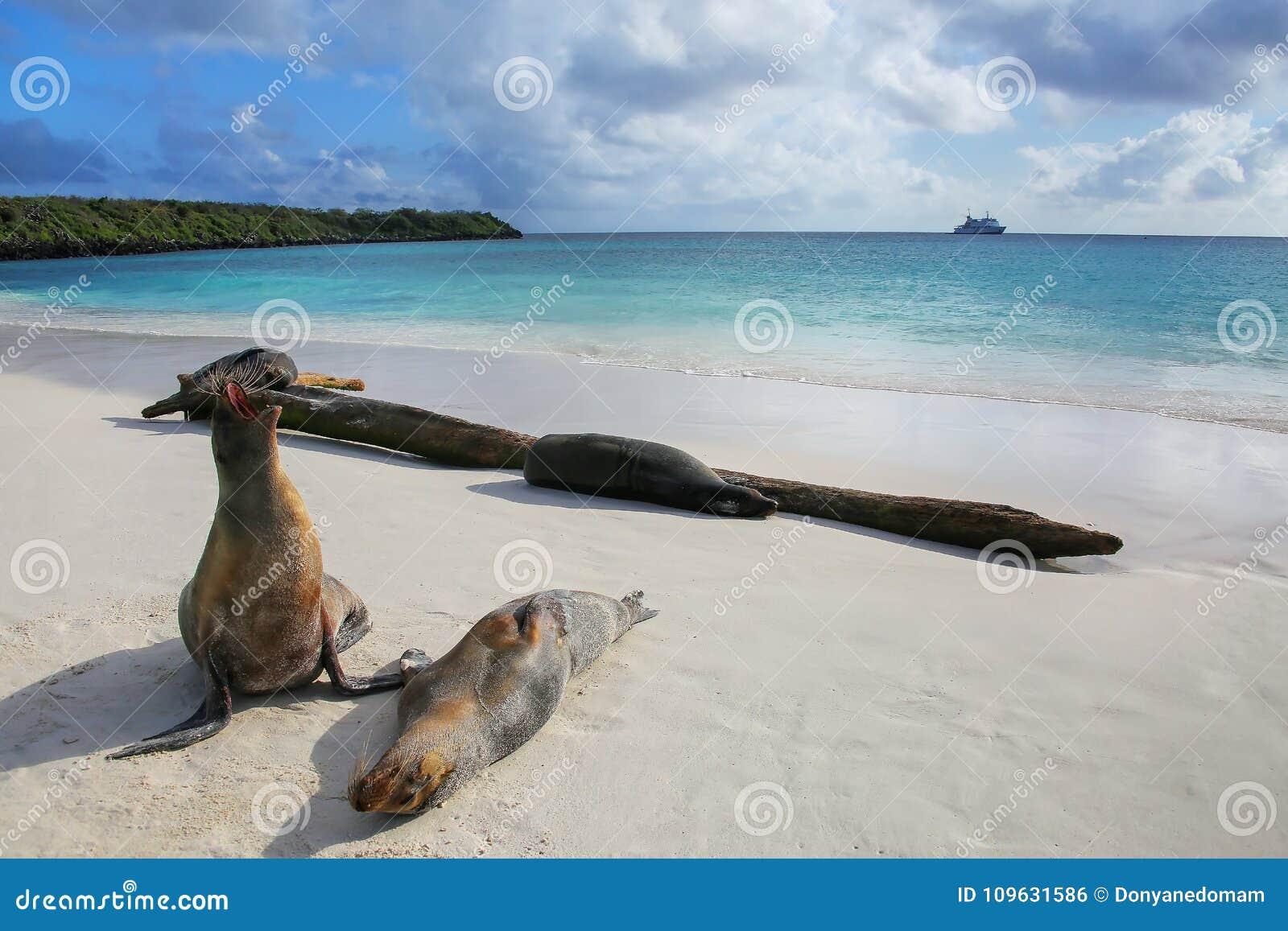 Galapagos-Seelöwen auf dem Strand bei Gardner Bay, Espanola-Insel