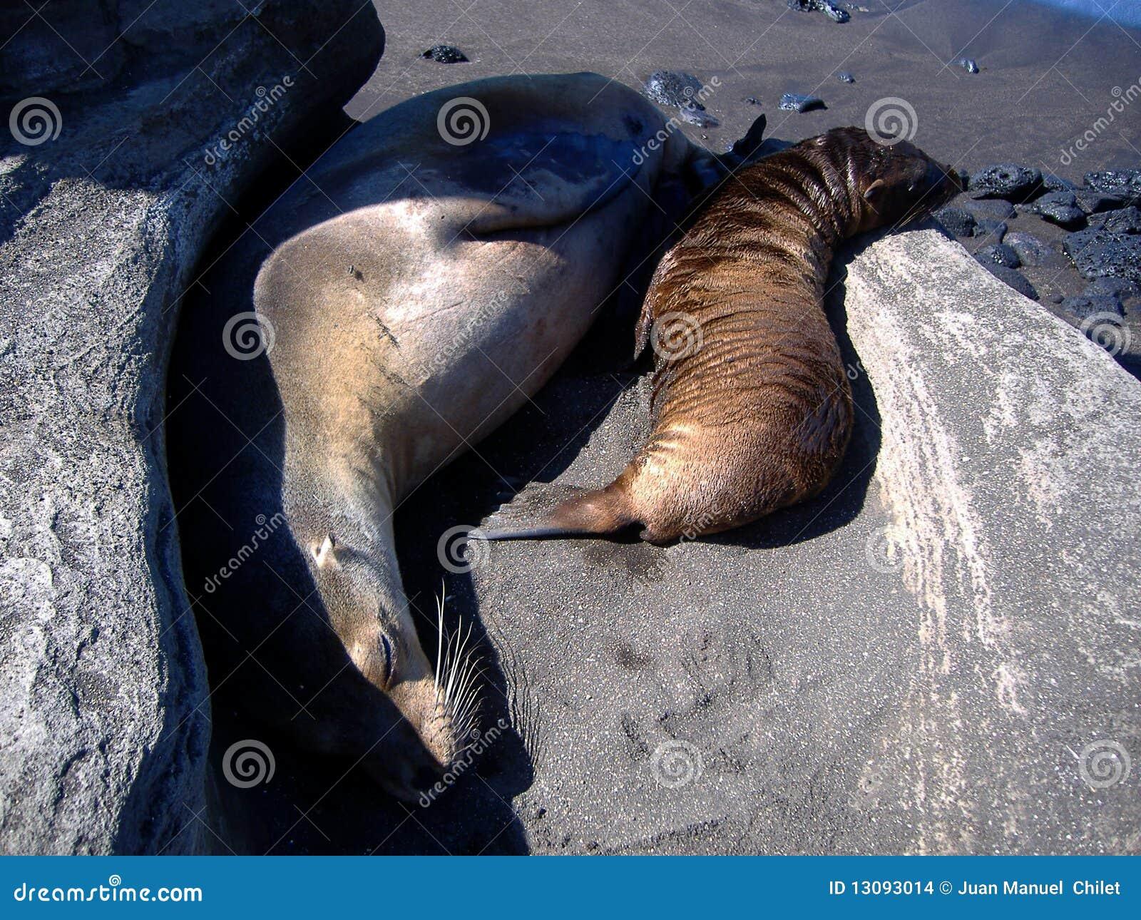 Galapagos wysp foki
