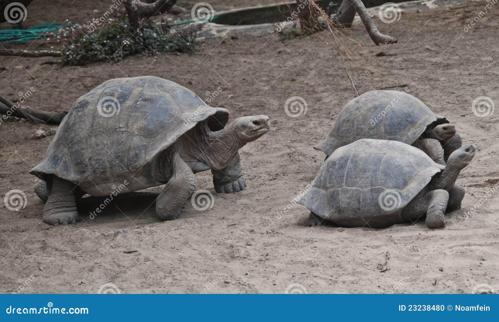 Galapagos wysp tortoises