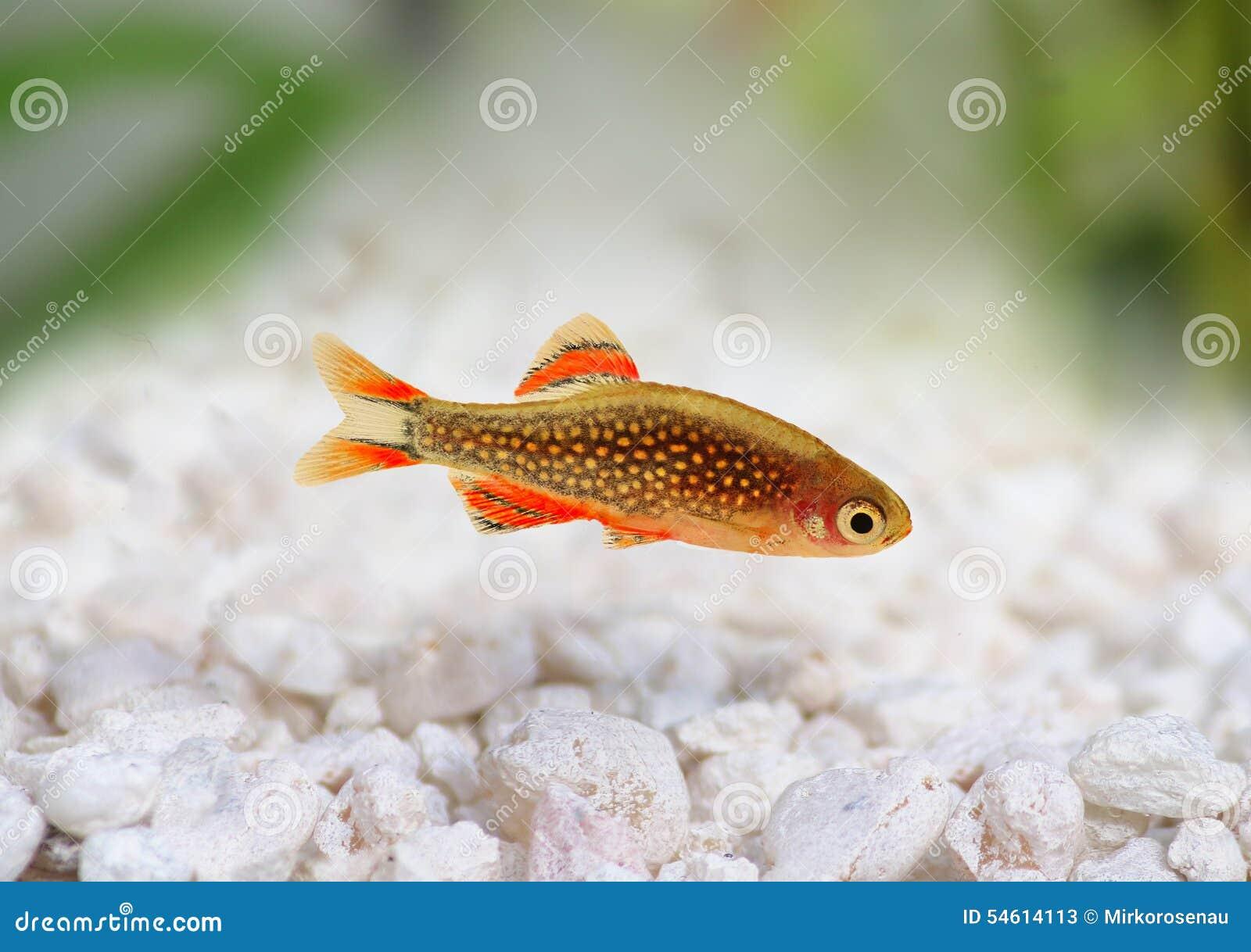 Freshwater aquarium fish rasbora - Galaxy Rasbora Danio Margaritatus Pearl Danio Aquarium Fish