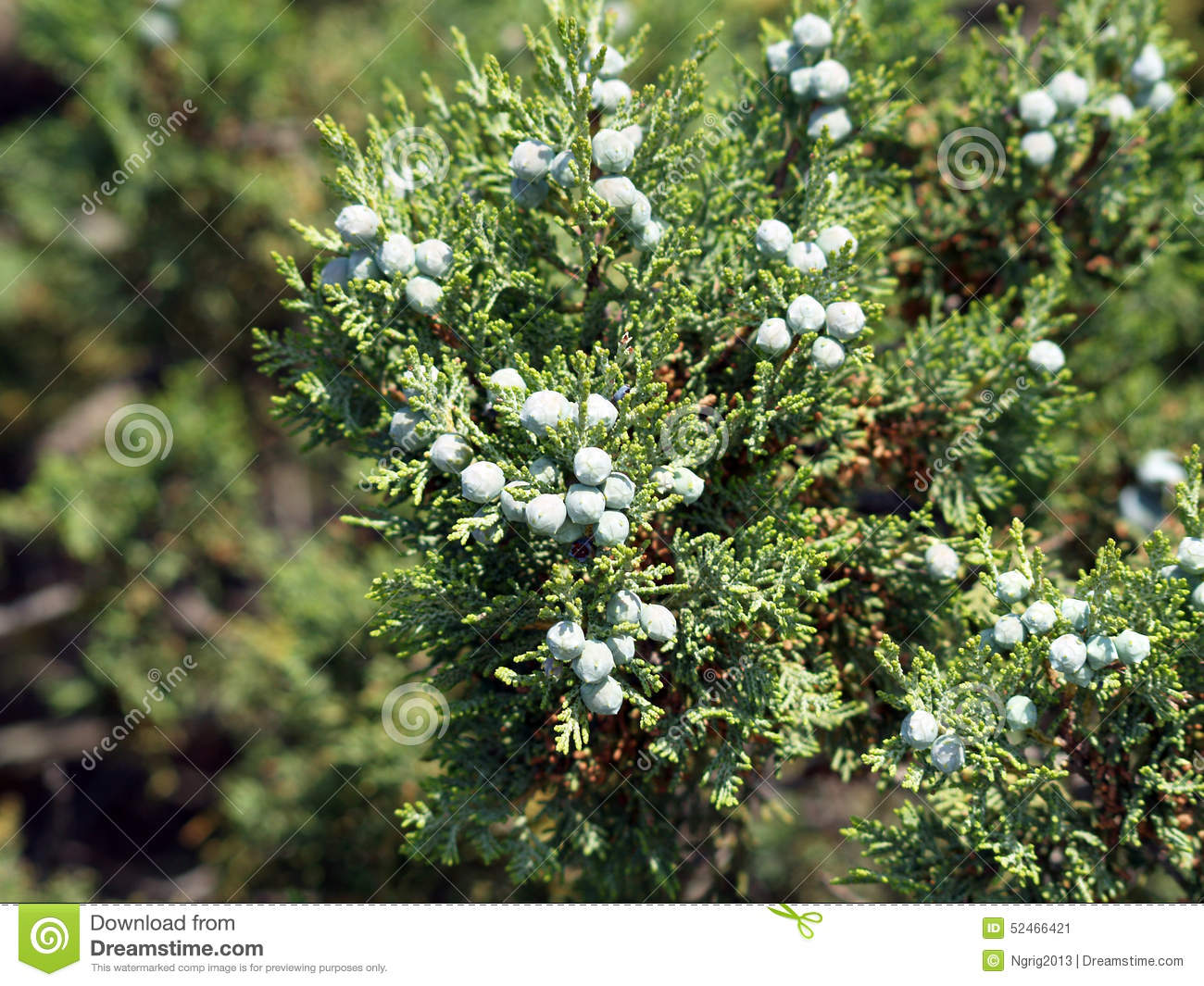 Galberries and needles of a juniperus excelsa (Crimea)