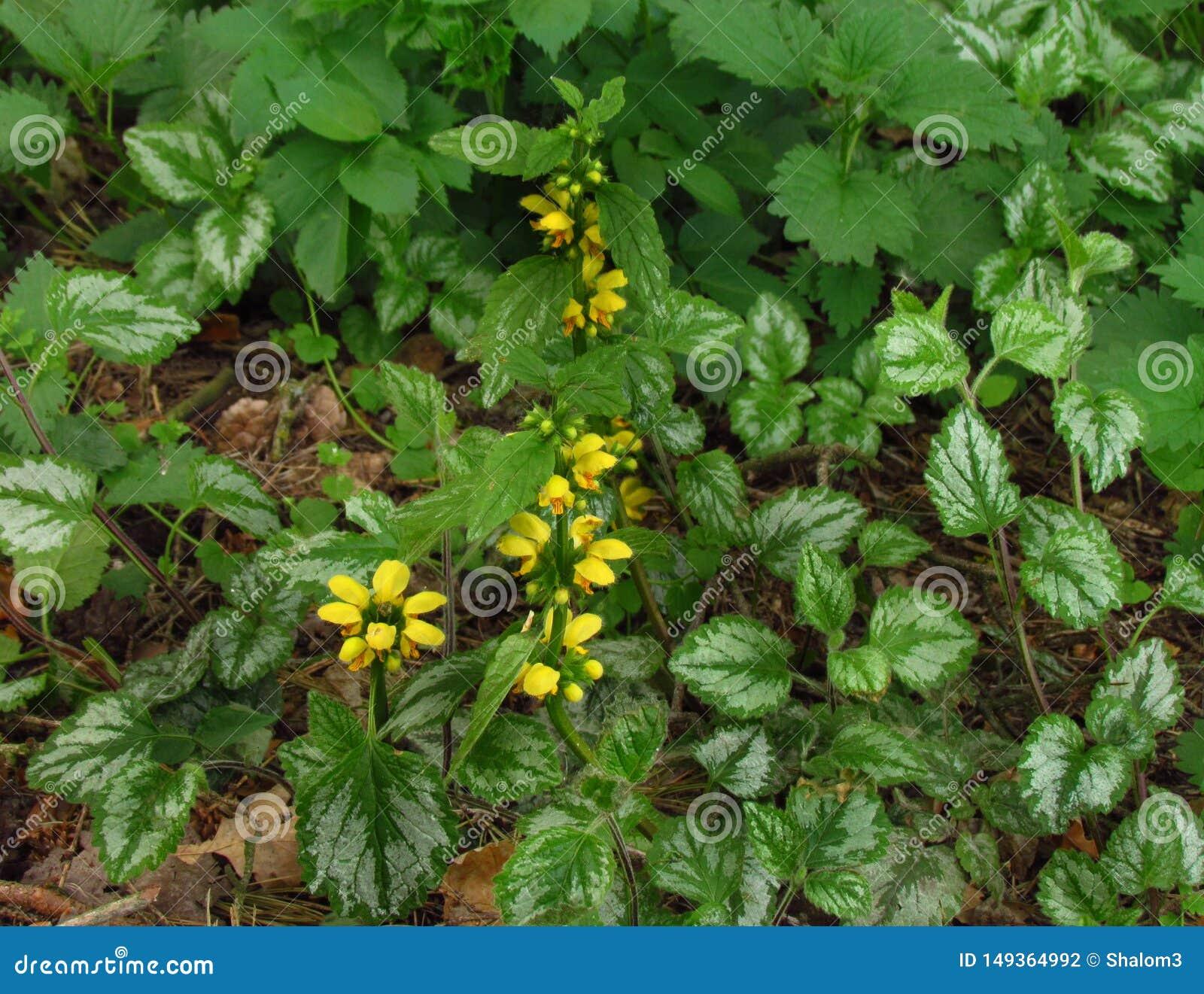 Galeobdolon Lamiastrum другое luteum Galeobdolon имени, постоянная желтая цветя трава