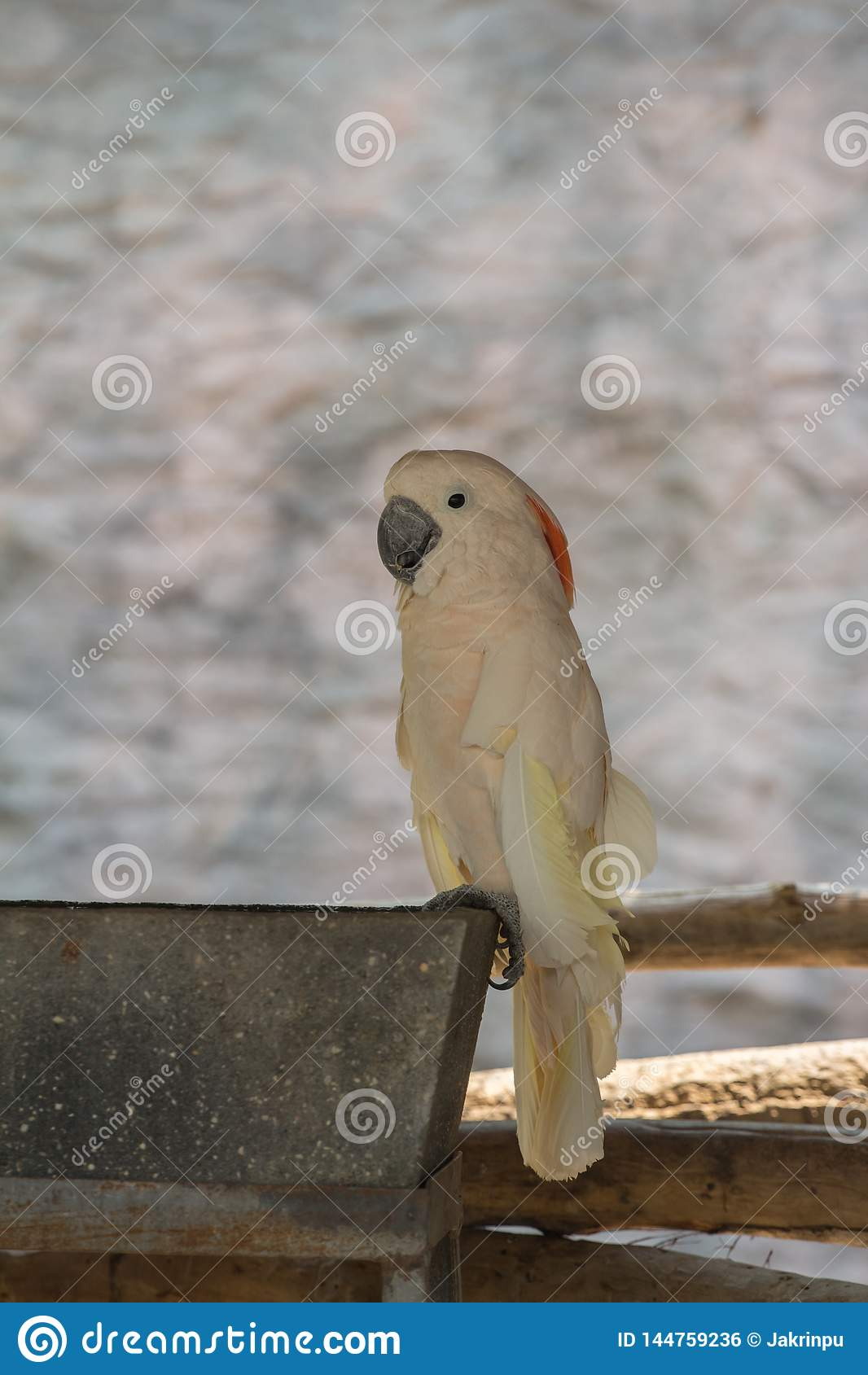 Galerita del Cacatua - cacatua bianca della cacatua Zolfo-crestata grande e gialla sui rami