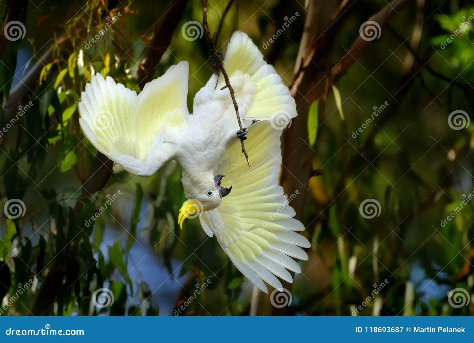 Galerita del Cacatua - cacatúa Azufre-con cresta que se sienta en la rama en Australia Cacatúa blanca y amarilla grande con el ba