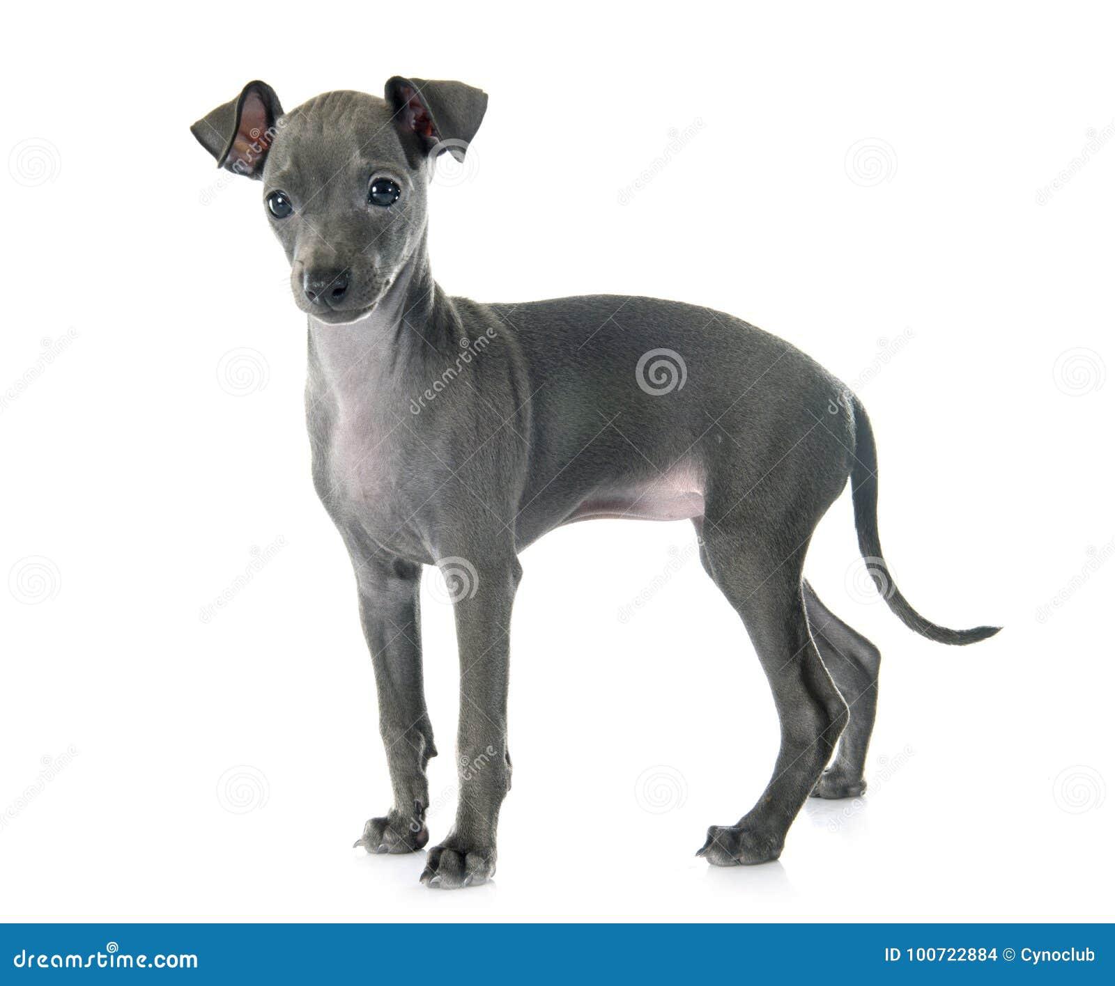 Galgo italiano do cachorrinho