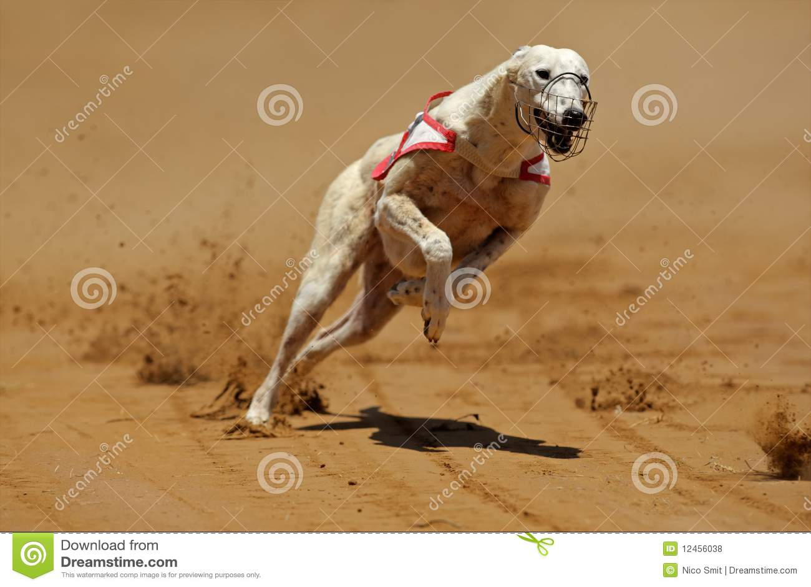 Galgo Sprinting