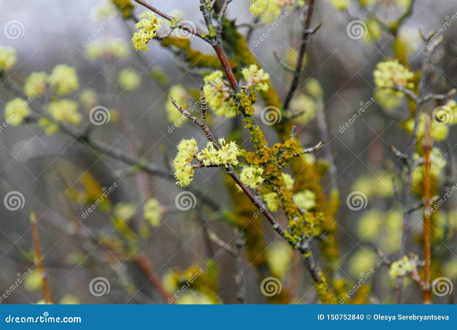 Galho bonito com as flores amarelas brilhantes no fundo verde natural borrado r
