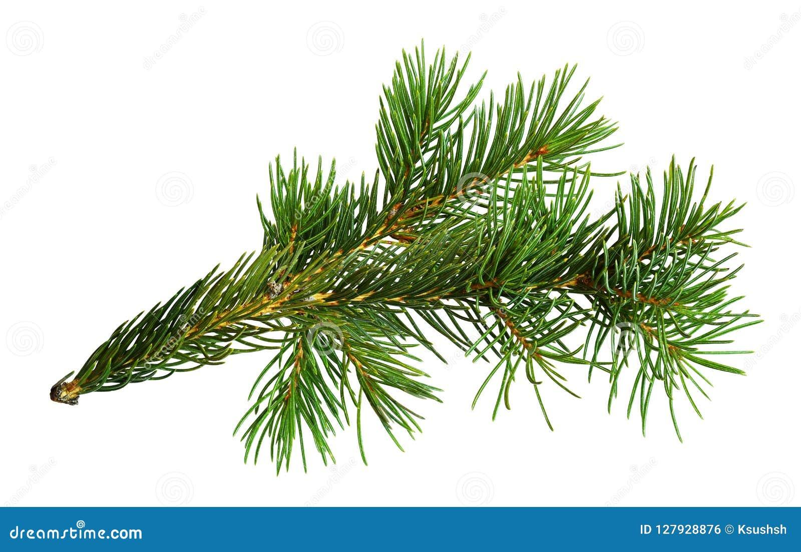 Galho da árvore de Natal